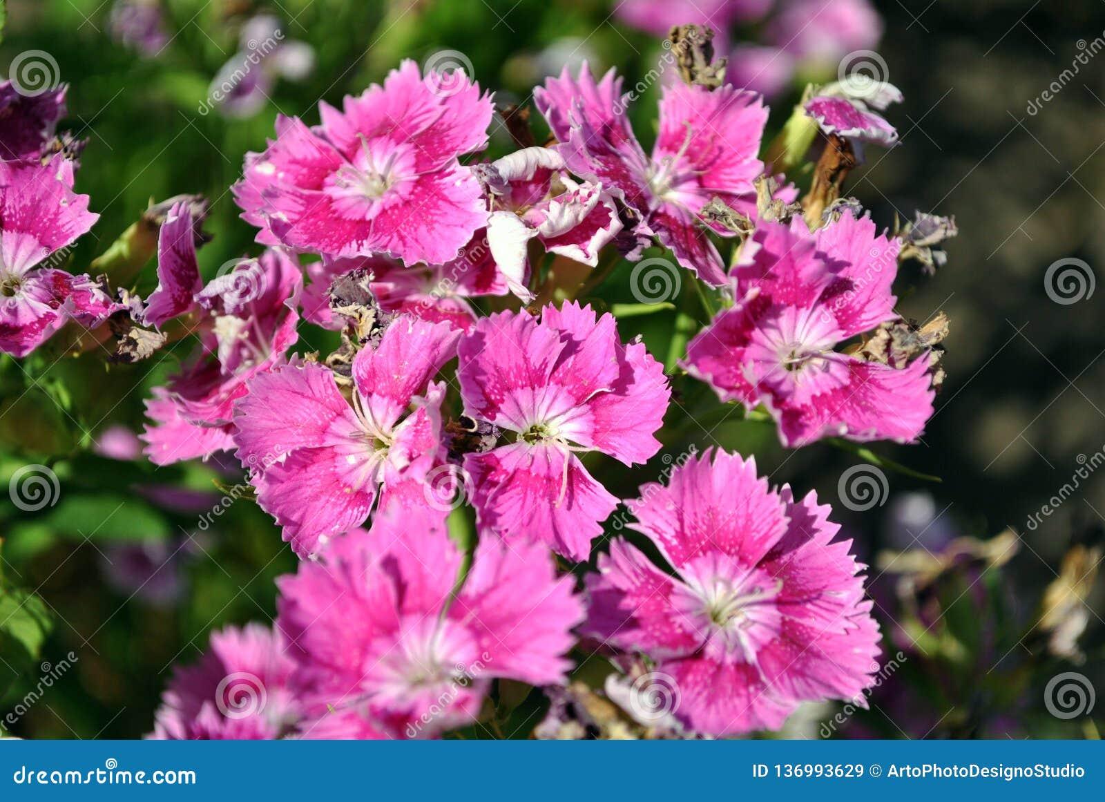 Pink dianthus barbatus Sweet William flowers blooming, top view close up macro detail, green background bokeh