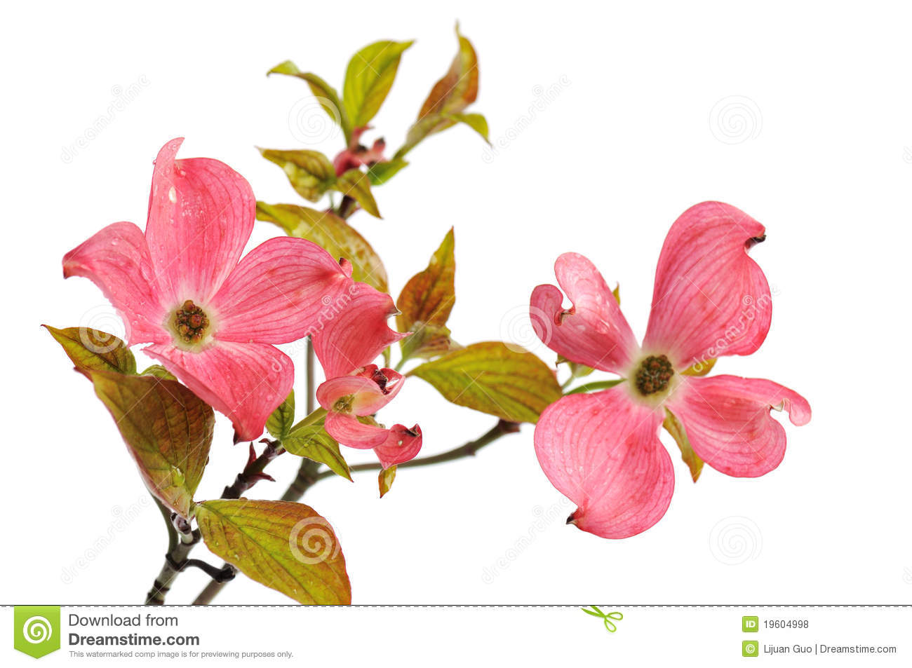 Pink Dogwood Blossoms Isolated On White Stock Photo Image Of Tree