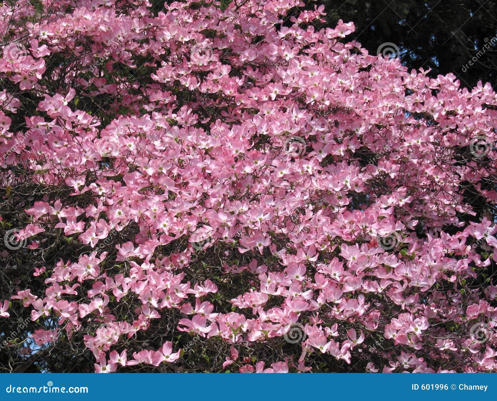 Pink Dogwood Tree Stock Photo Image Of Gardening Mass 601996