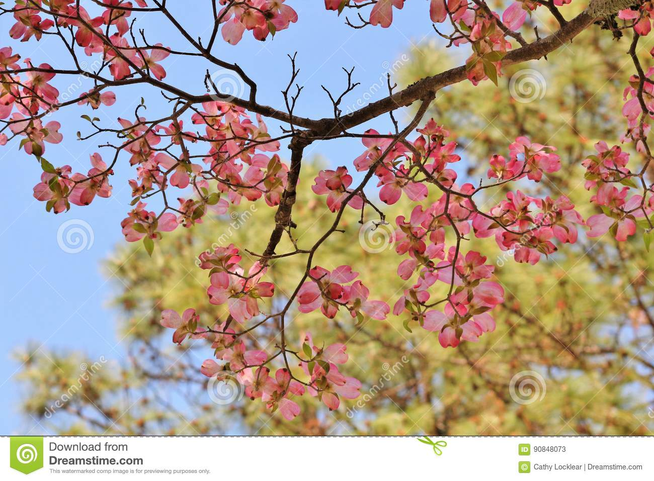 Pink Dogwood Tree Blooming With Pink Flowers Stock Image Image Of