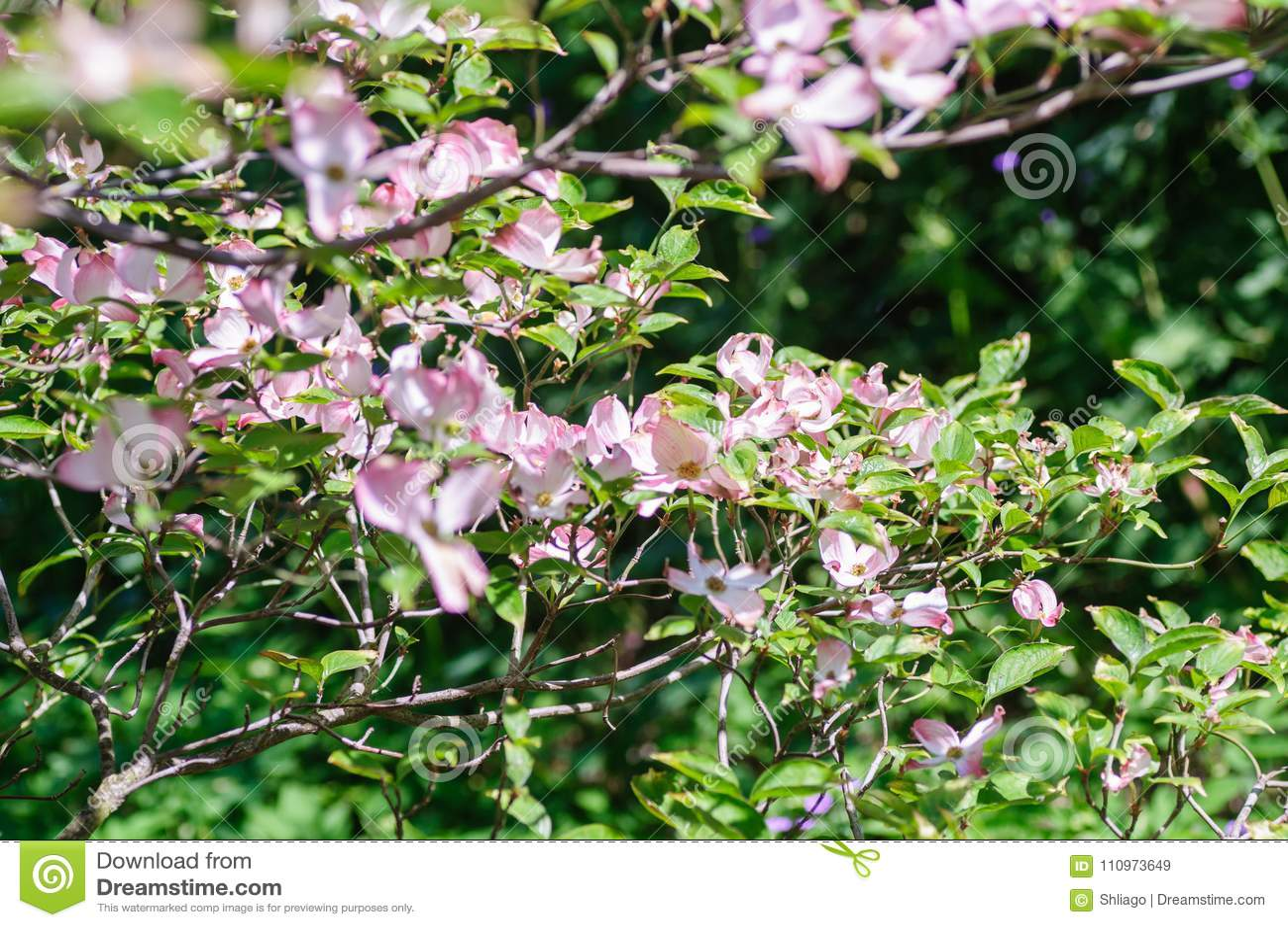 Pink Dogwood Tree Cornus Florida In Full Bloom In Springtime