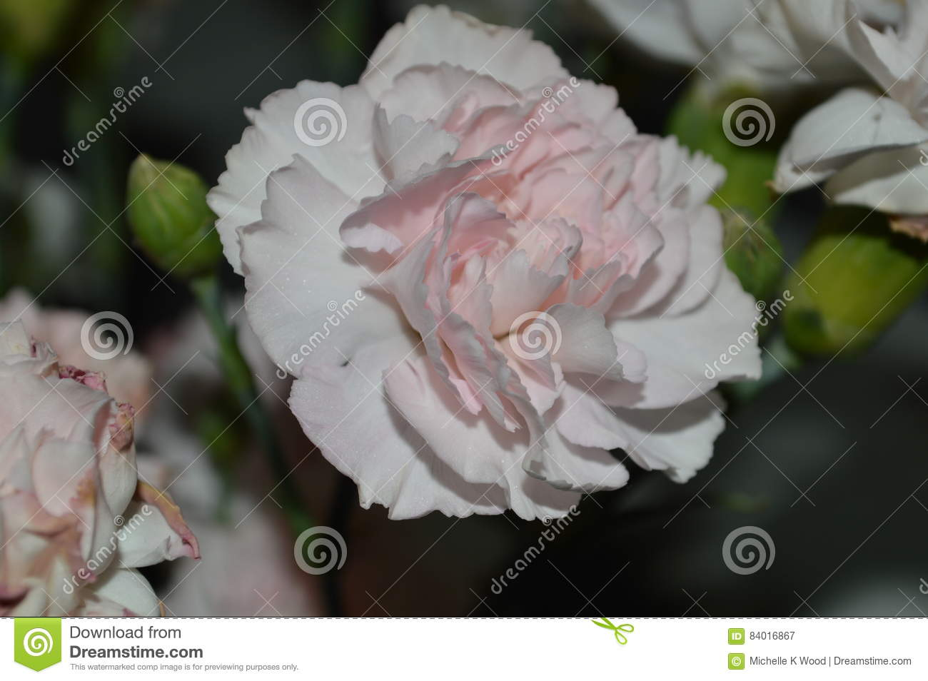 Pink double carnation close up