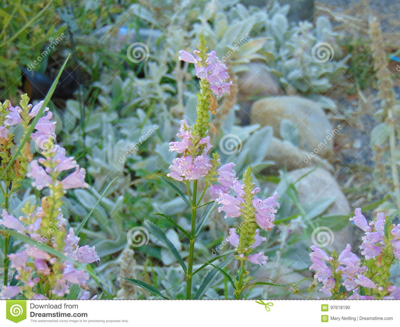 Pink Dragon Flowers Blooming In The Summer Stock Photo Image Of