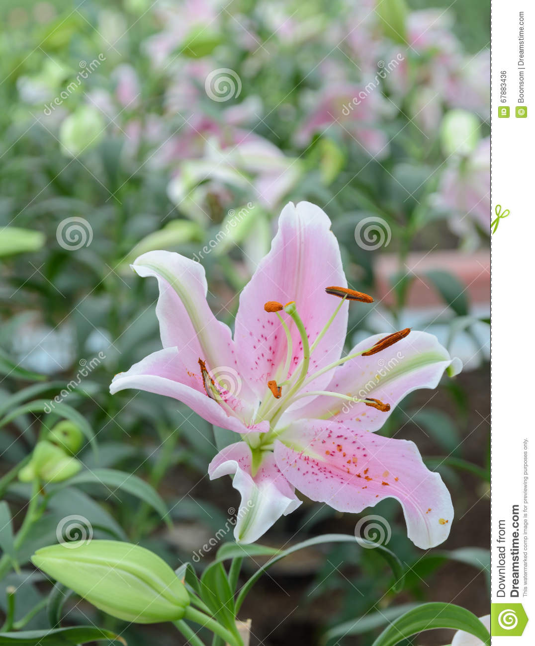 Pink easter lily flower stock photo image of plant garden 67883436 download pink easter lily flower stock photo image of plant garden 67883436 izmirmasajfo