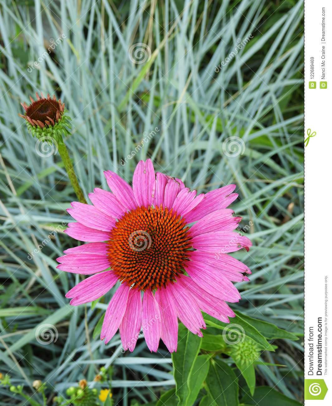 Pink Echinacea Cone Flower In Front Of Blue Ornamental Grass Stock