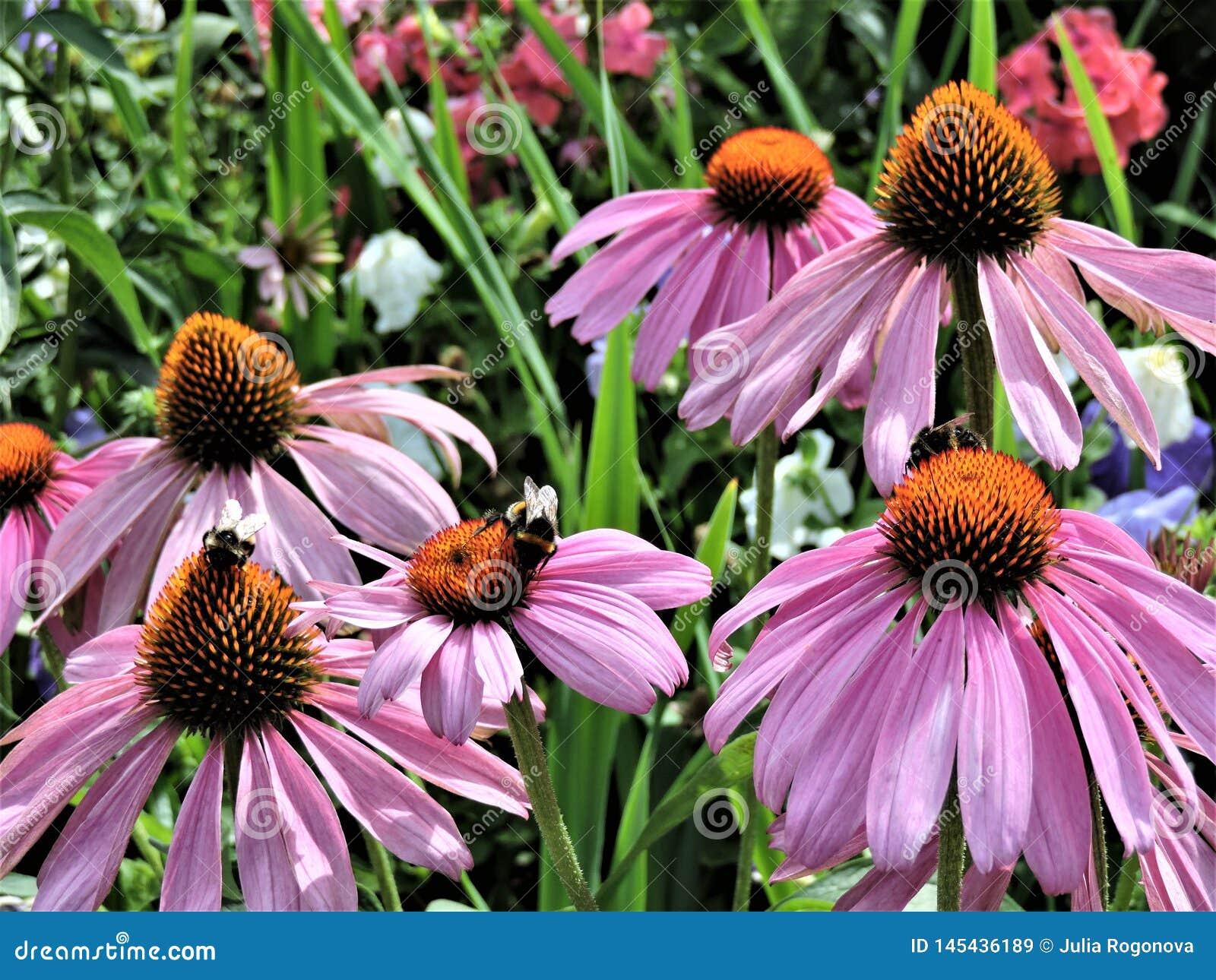 Pink echinacea flowers with bee in botanical garden of Helsinki