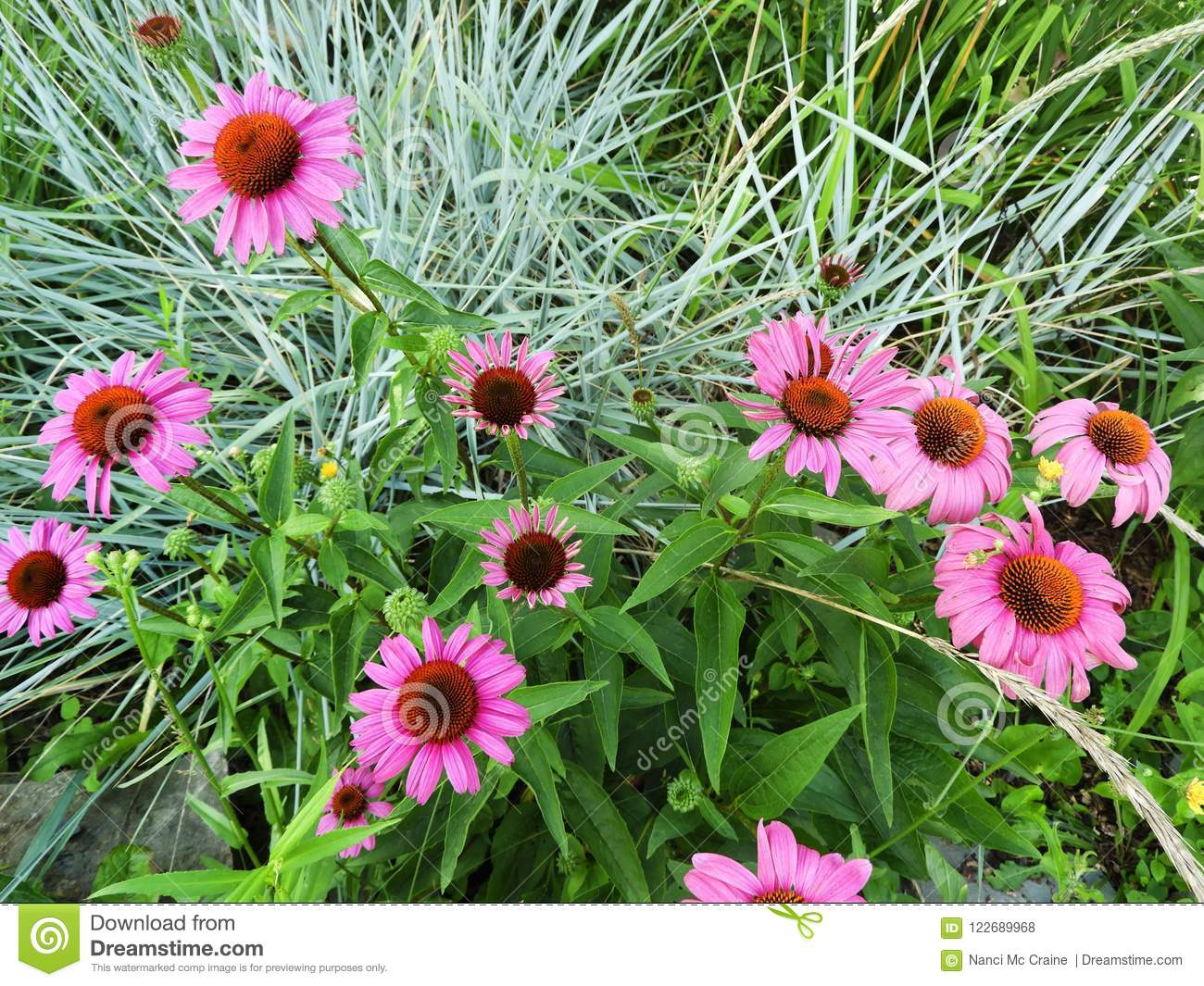Pink Echinacea Flowers With Blue Ornamental Grass Stock Photo