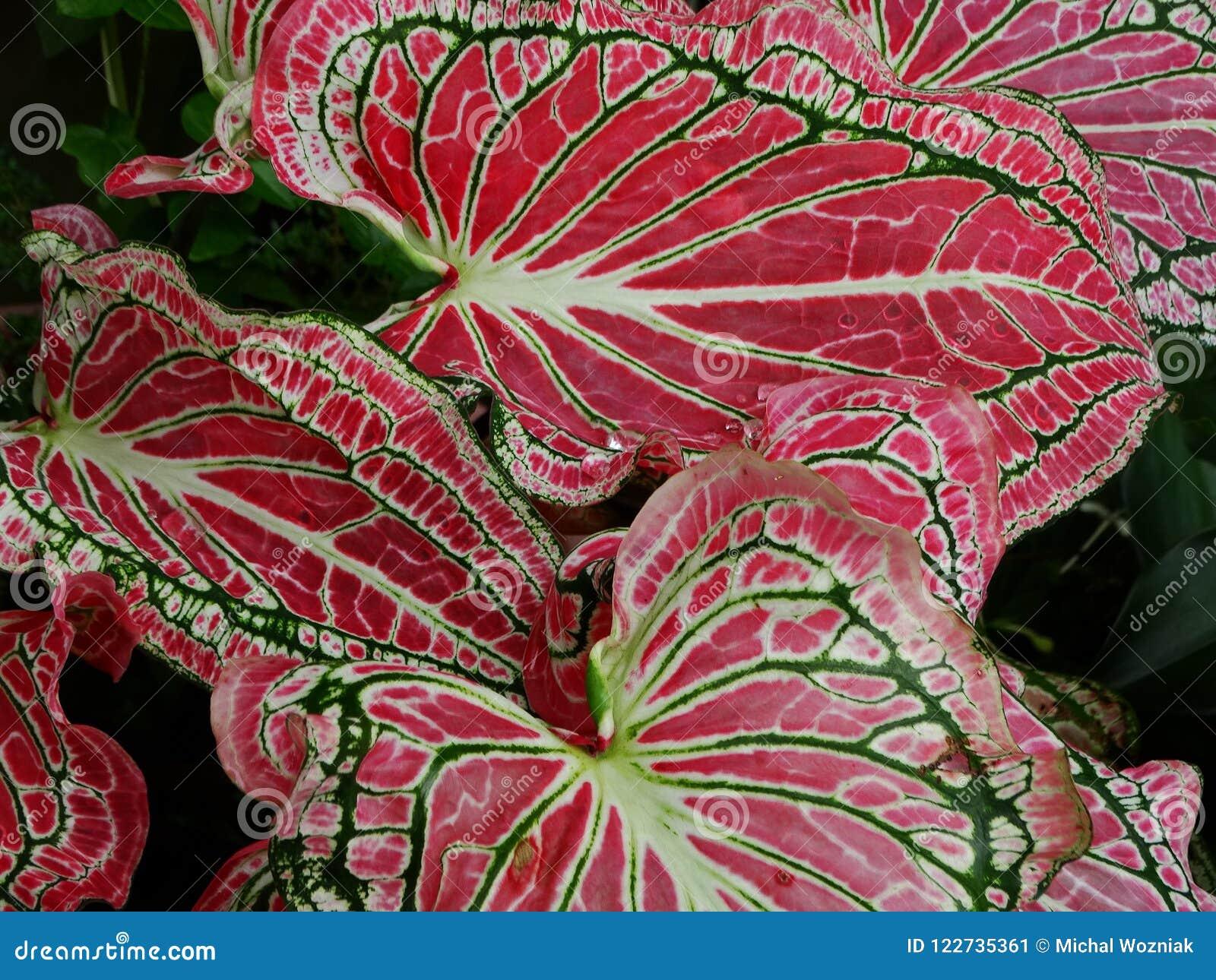 Pink Elephant Ear Caladium Candidum Leaves Stock Image Image Of Garden Green 122735361