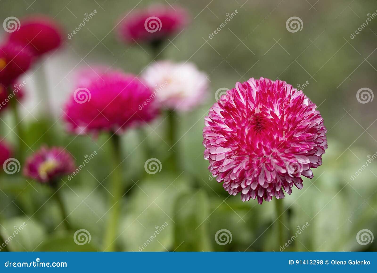Pink english daisies bellis perennis spring flowers stock photo pink english daisies bellis perennis spring flowers mightylinksfo