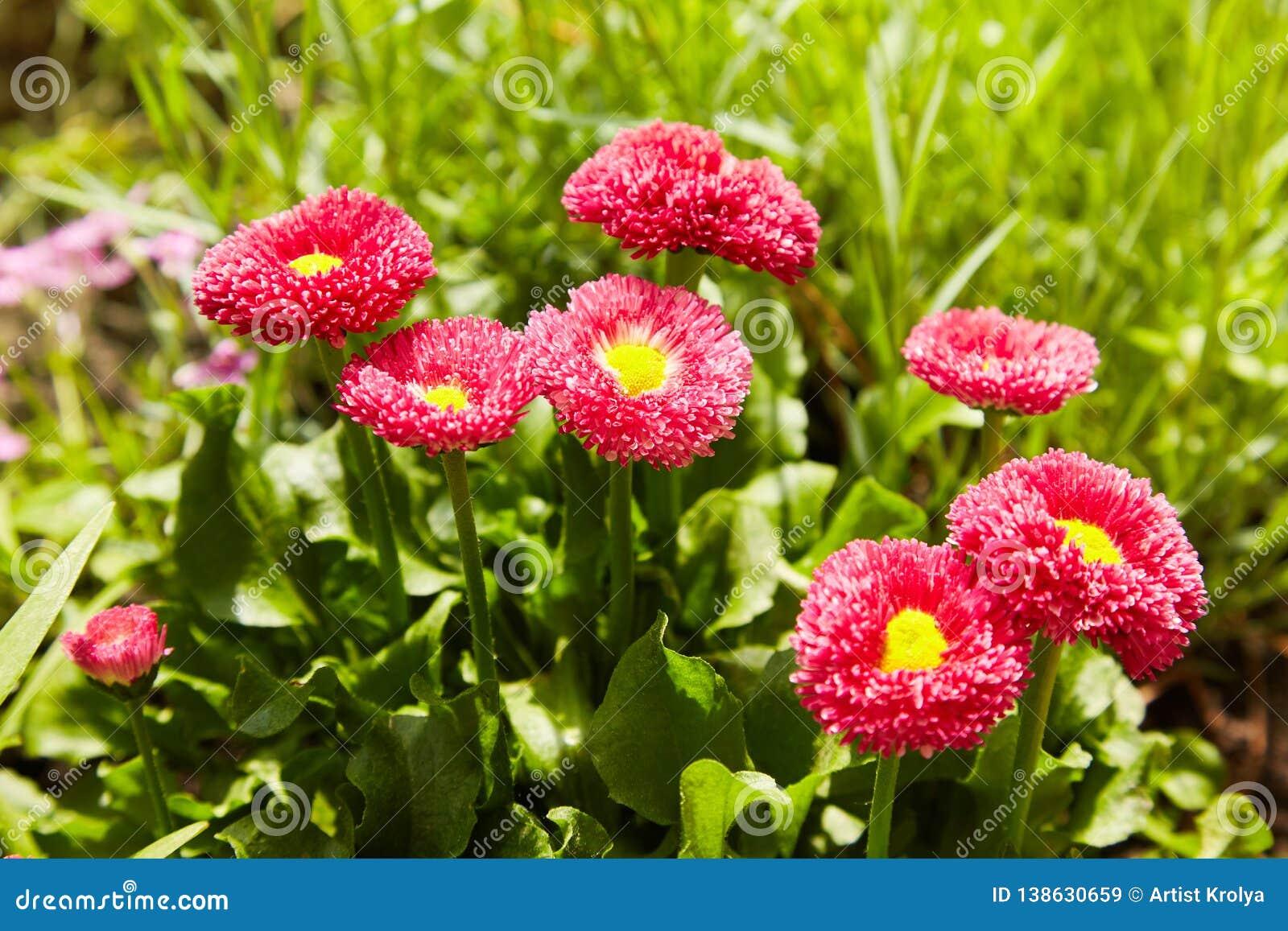 Pink English daisies - Bellis perennis - in spring garden. Bellasima rose.