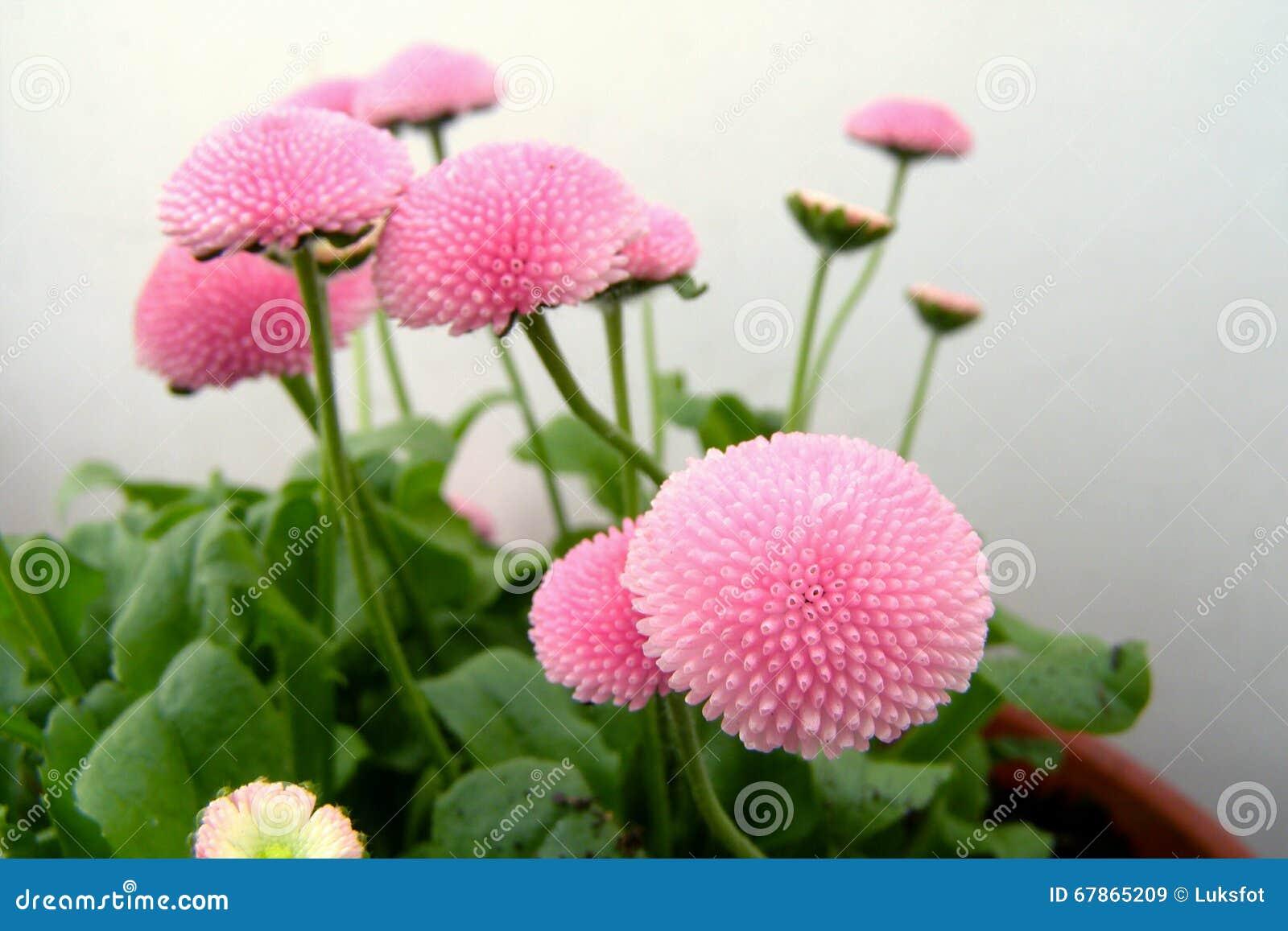 Pink english daisy flowers blossom stock image image of green pink english daisy flowers blossom izmirmasajfo