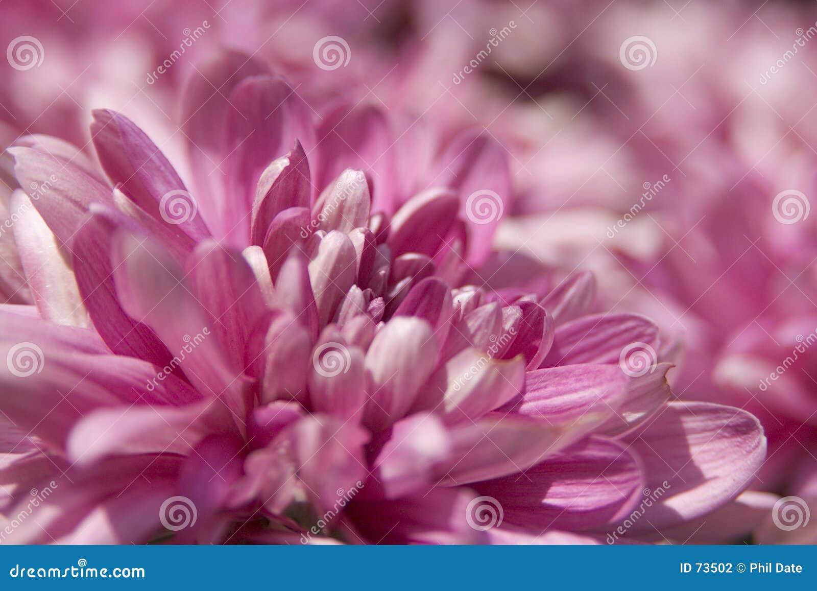 Pink för 2 blommor