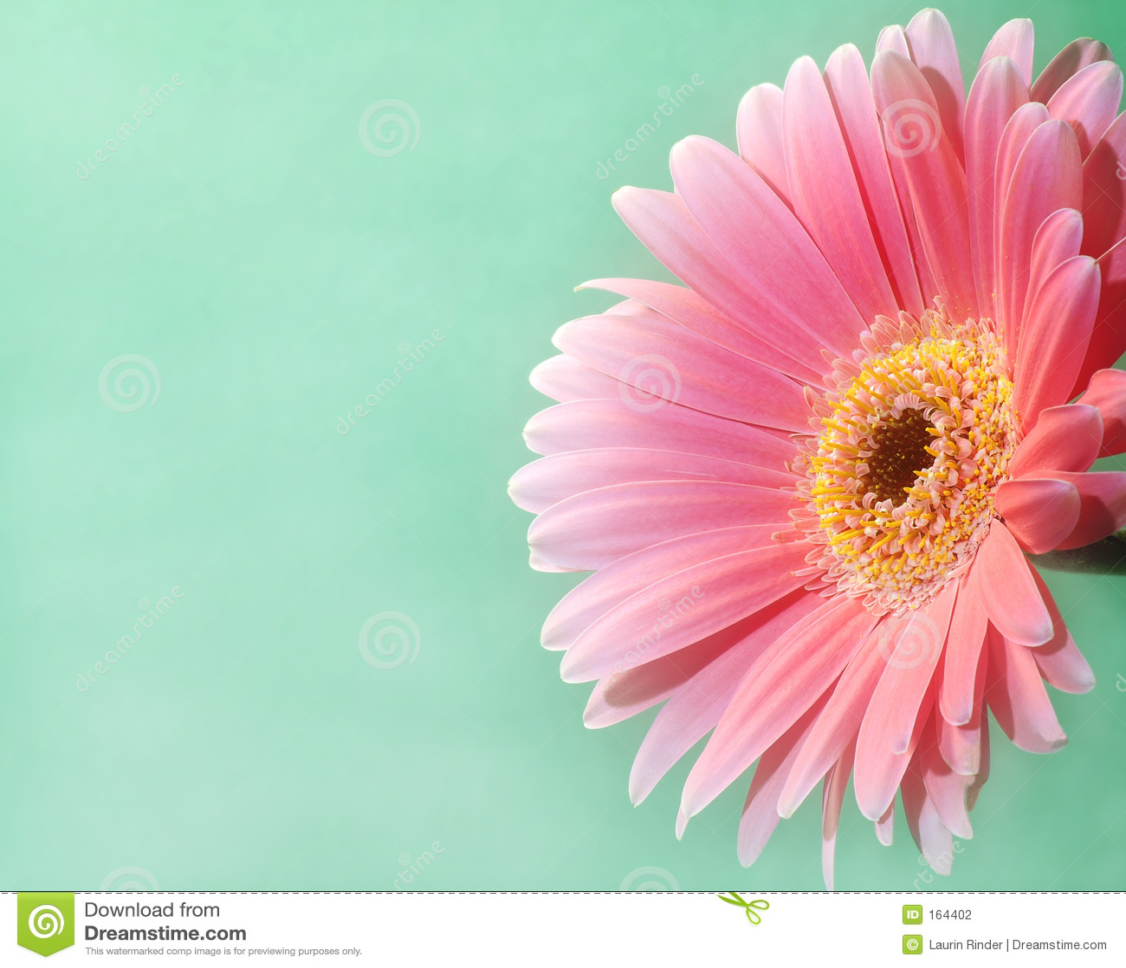 Pink för 2 gerbera