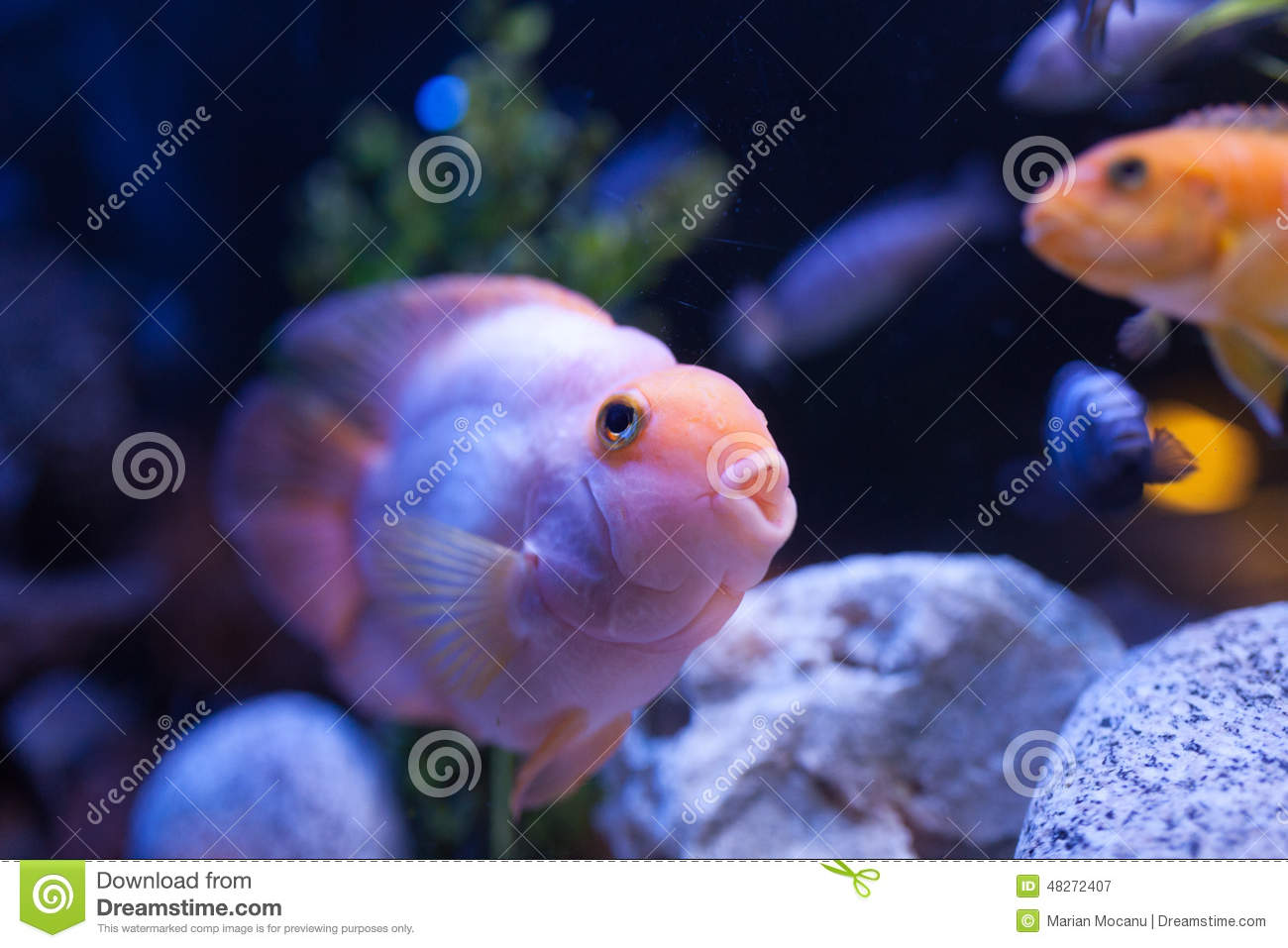 Pink fish stock photo image 48272407 for Fish and pets unlimited
