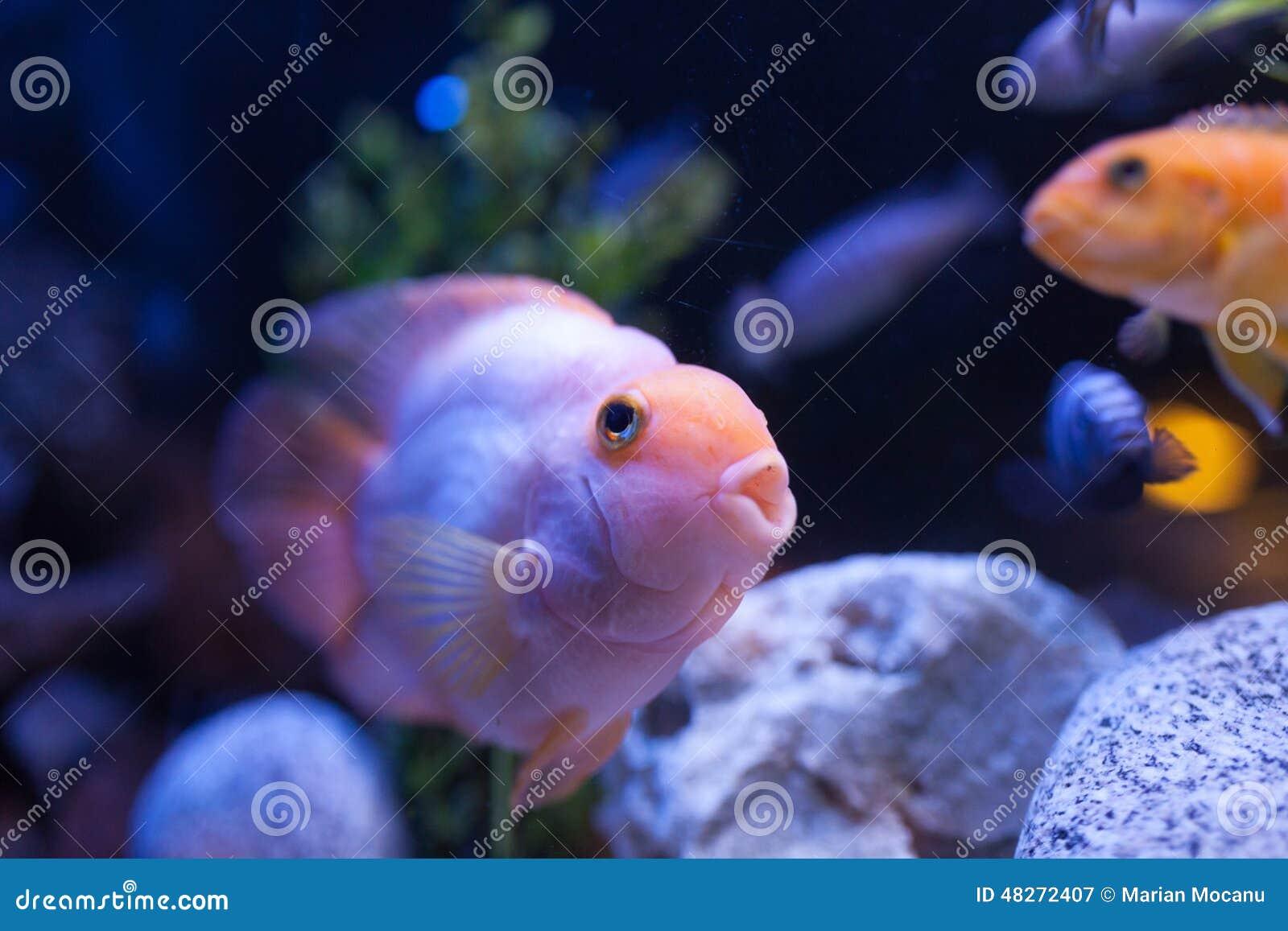 Pink fish stock photo image 48272407 for Pink fish tank