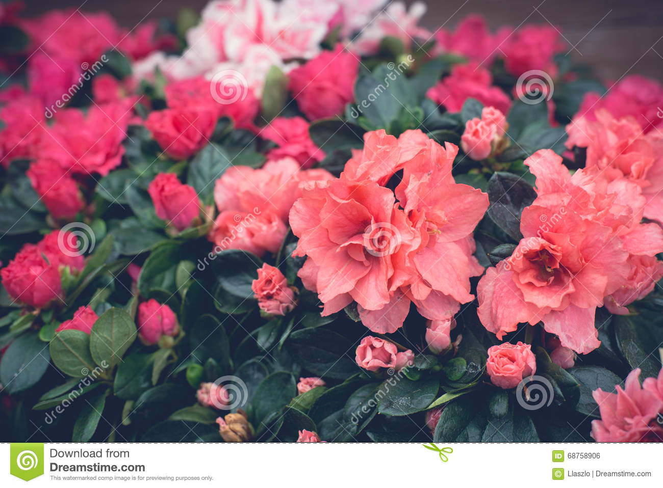 Pink floral wallpaper stock photo image of dark close 68758906 pink floral wallpaper mightylinksfo