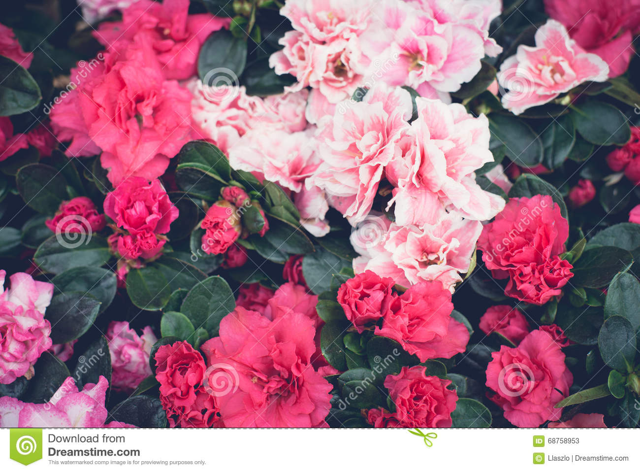 Pink Floral Wallpaper Stock Image Image Of Floral Close 68758953
