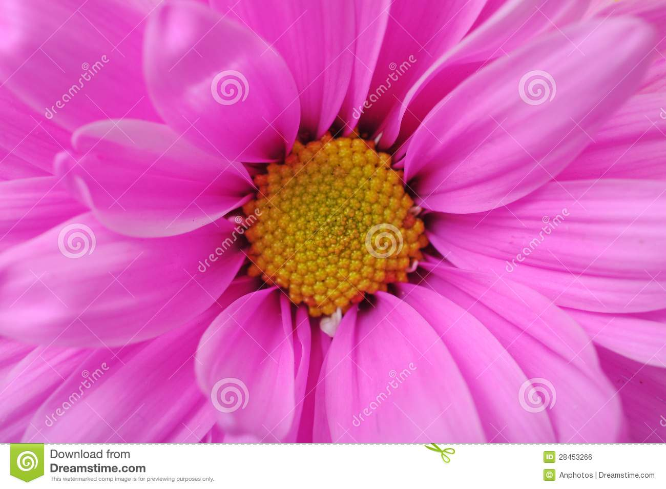 Pink flower stock photo image of flower daisy isolated 28453266 pink flower izmirmasajfo