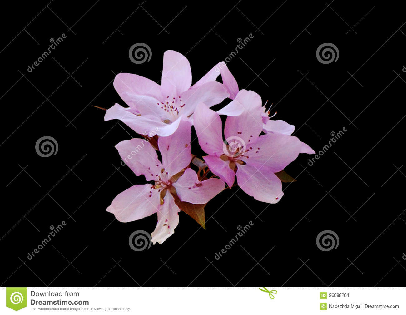 Pink Flower On Black Background Stock Photo Image Of White Close