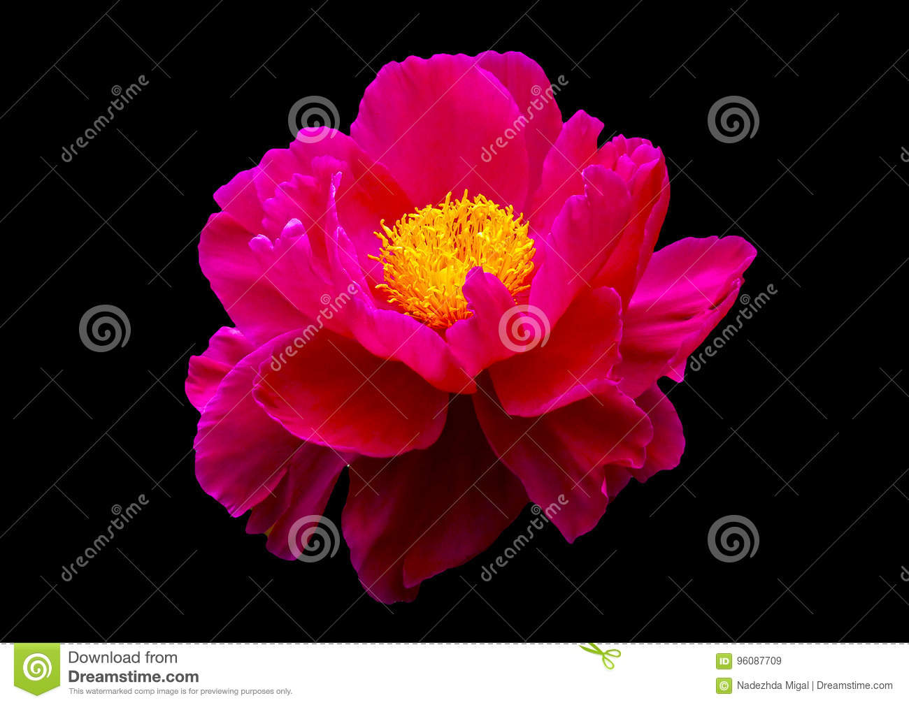Pink Flower On Black Background Stock Image Image Of Rose Beauty