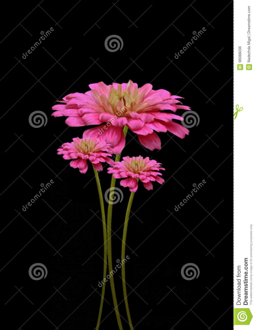 Pink Flower On Black Background Stock Photo Image Of Rose Bouquet
