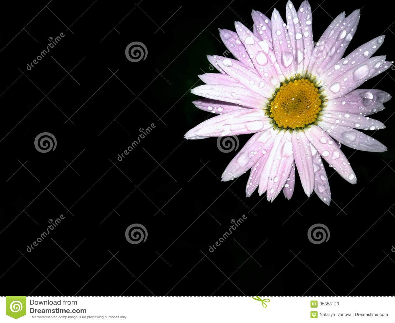 Pink Flower On Black Background Stock Photo Image Of Beauty Black