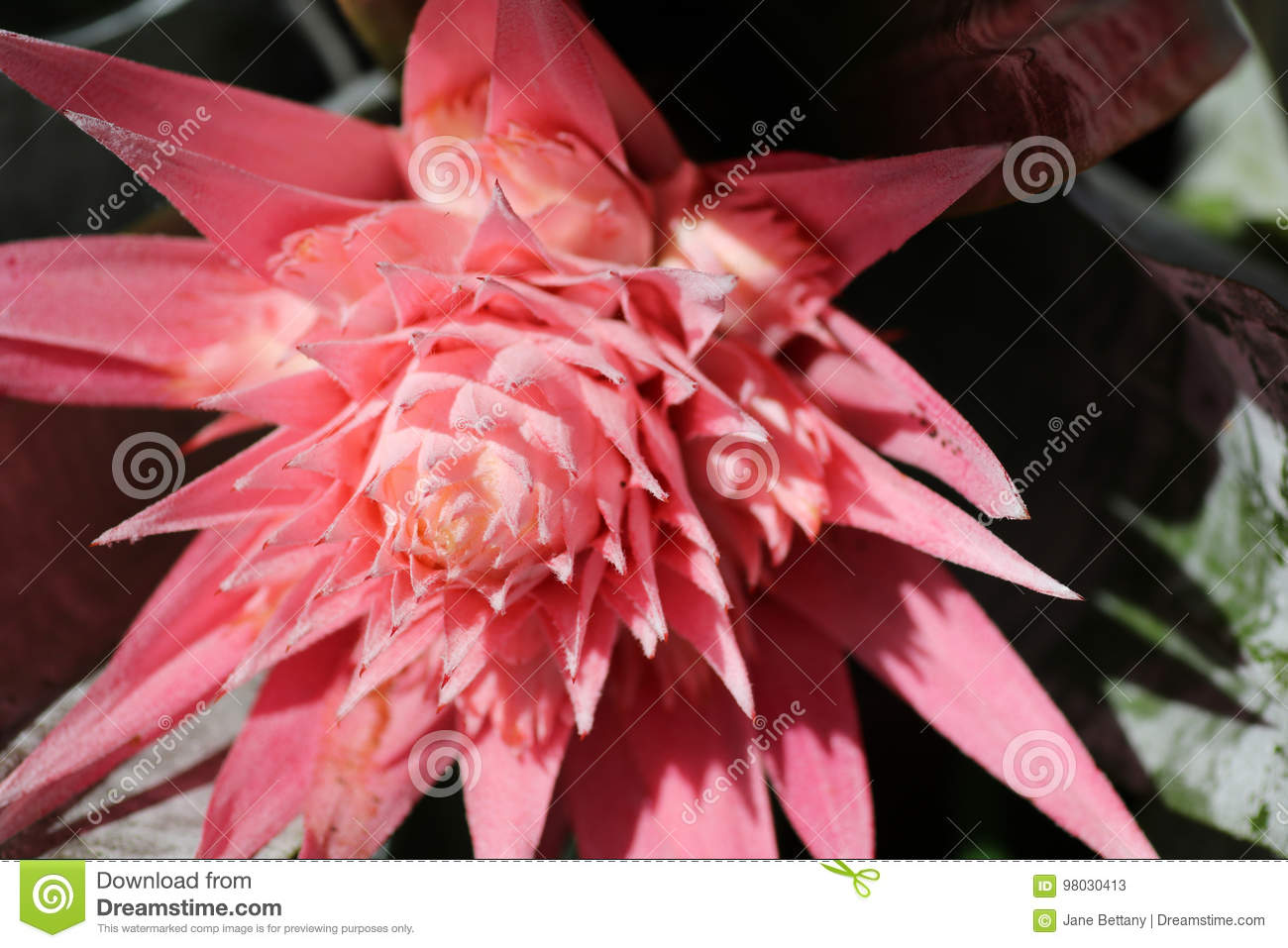Pink Flower On A Bromeliad Fasciata Plant Stock Image Image Of