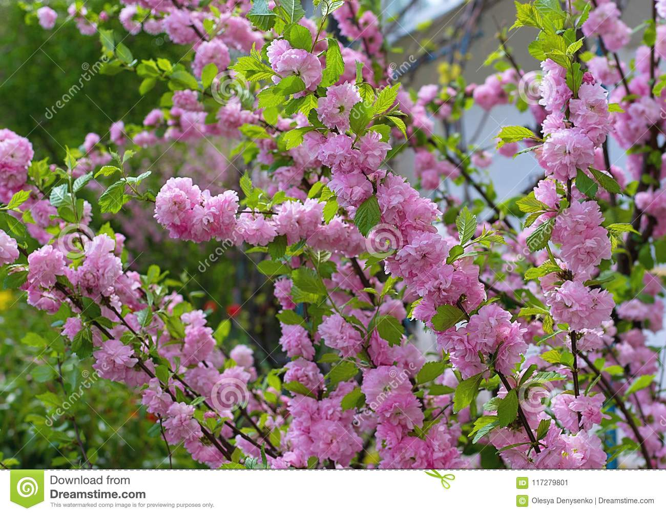 Pink flower bushes at the garden spring time stock image image of pink flower bushes at the garden spring time mightylinksfo