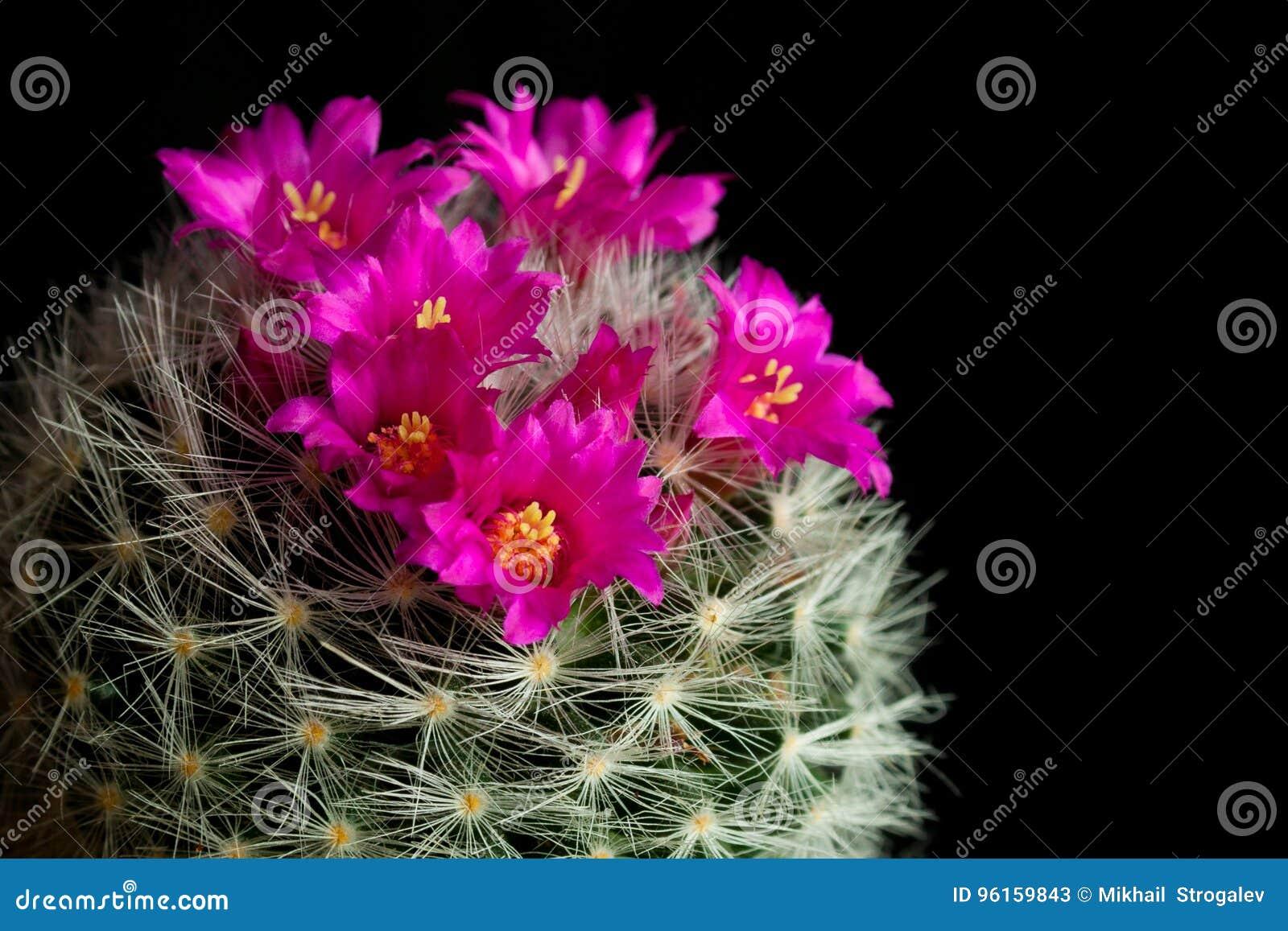 Pink Flower Of Cactus Mammillaria Stock Image Image Of Gardening