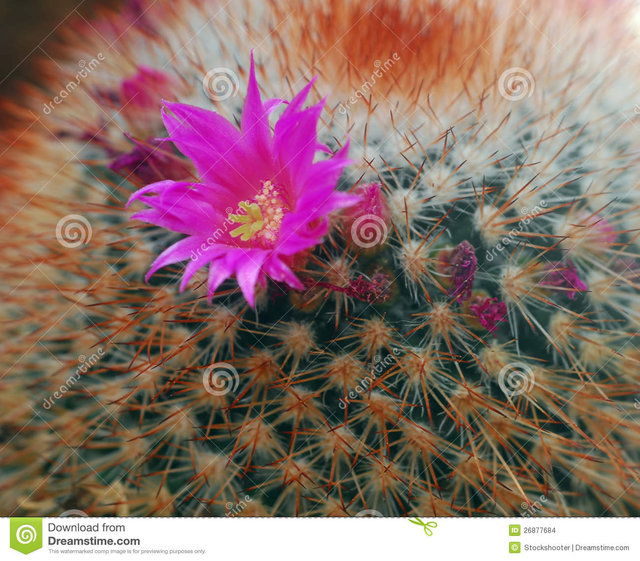 Pink Flower On Cactus Plant Stock Photo Image Of Sharp Spike