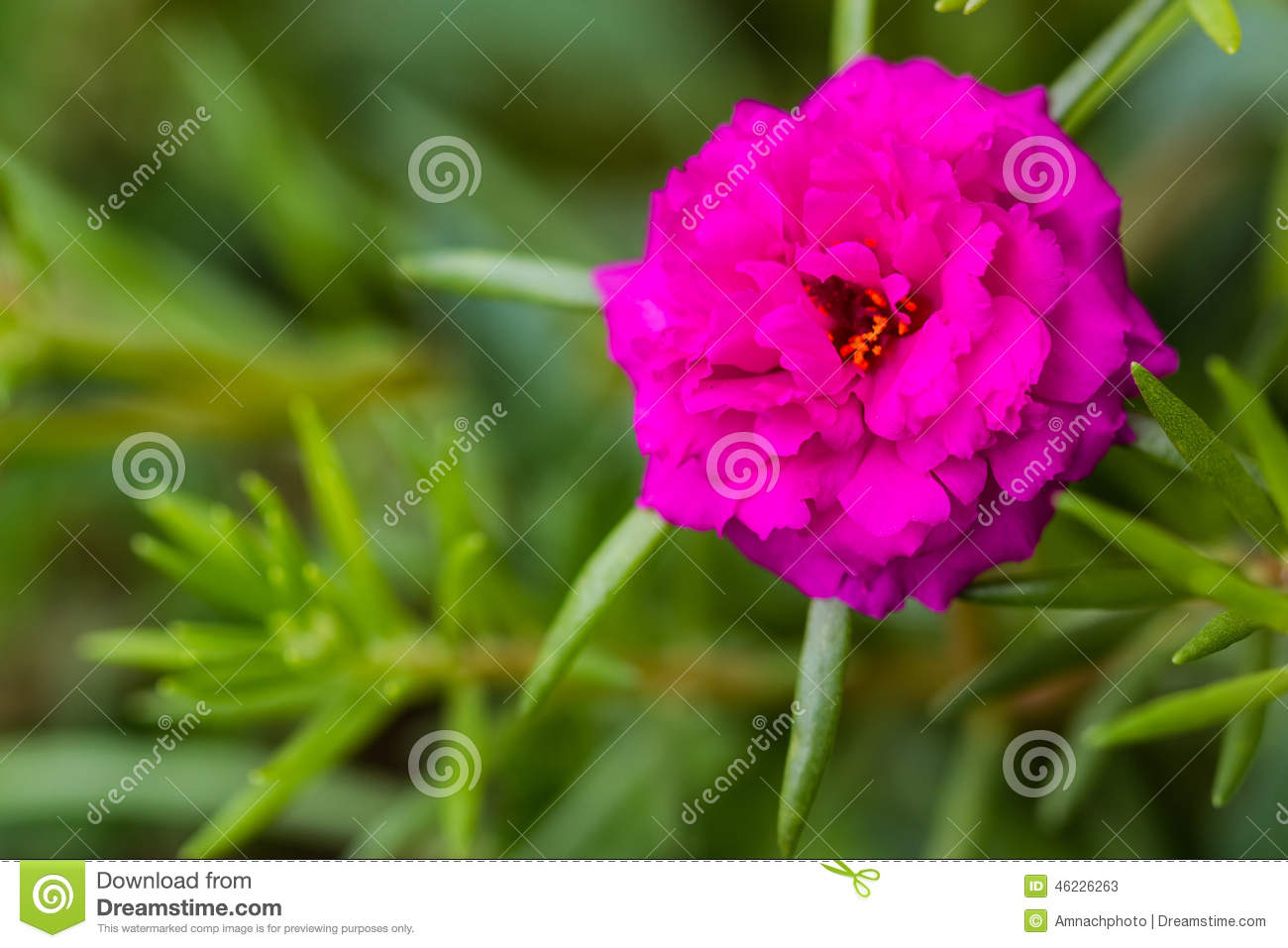 Portulaca flowers - decoration of any flower bed 48