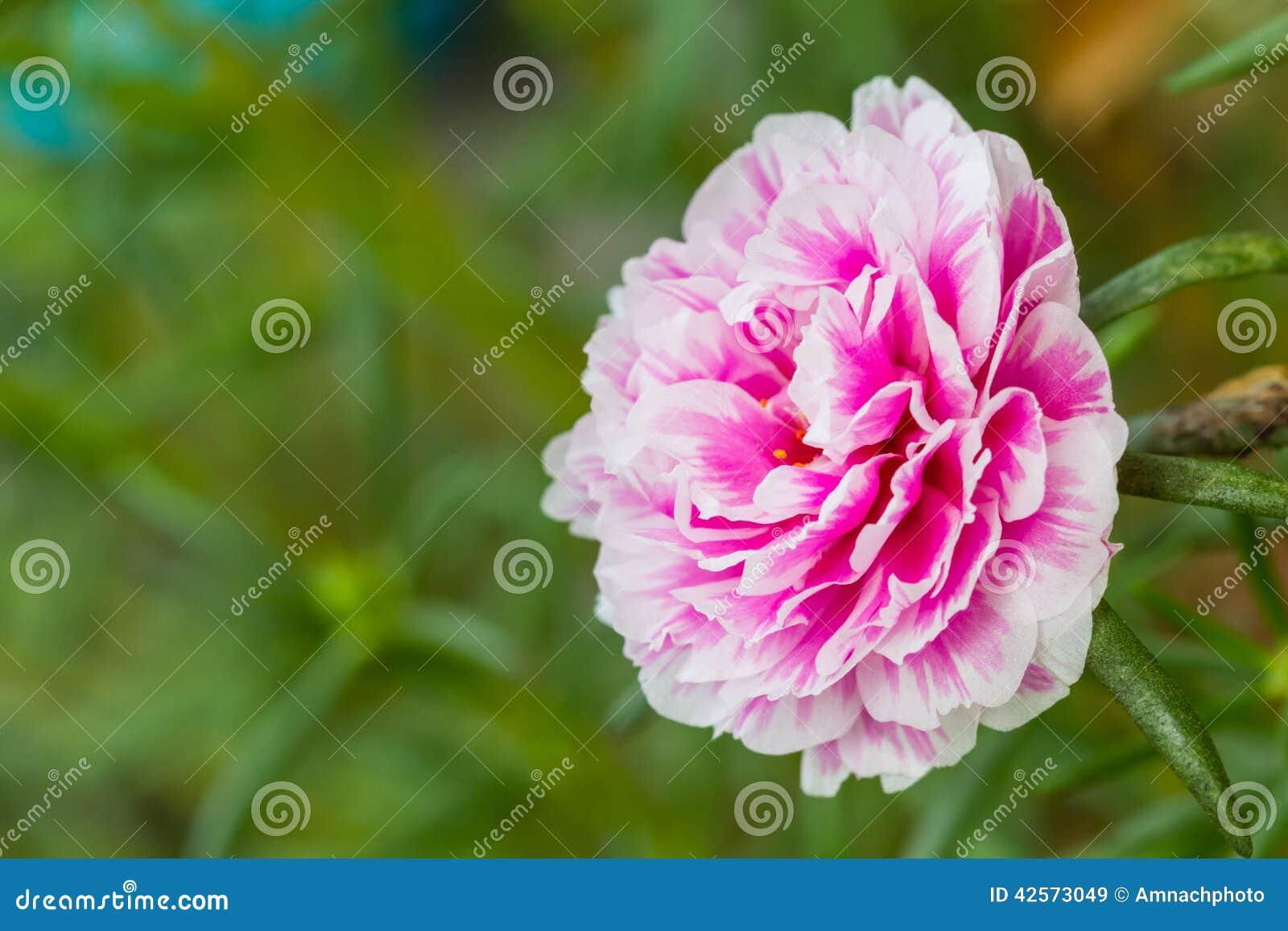 Pink Flower mon Purslane Portulaca Flowers Verdolaga Pigwe Stock