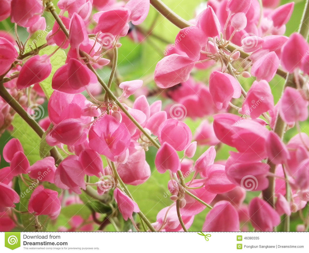 Pink Flower Coral Vine, Mexican Creeper Stock Photo - Image: 46380335 Flower Vine Clipart