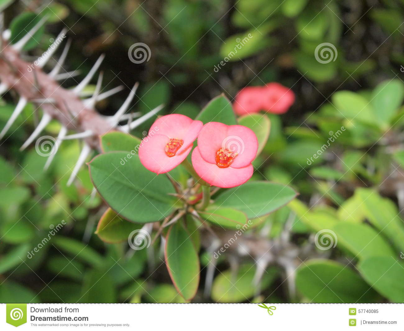 Pink flower crown of thorns christ thorn stock image image of pink flower crown of thorns christ thorn mightylinksfo