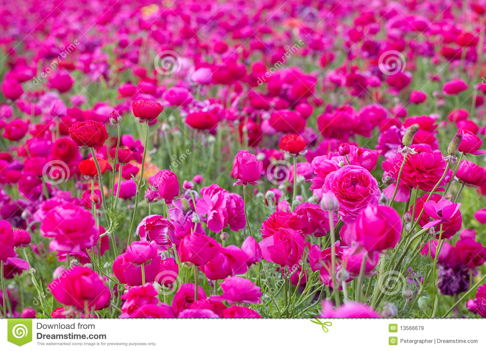 Field Of Pink Flowers Comousar