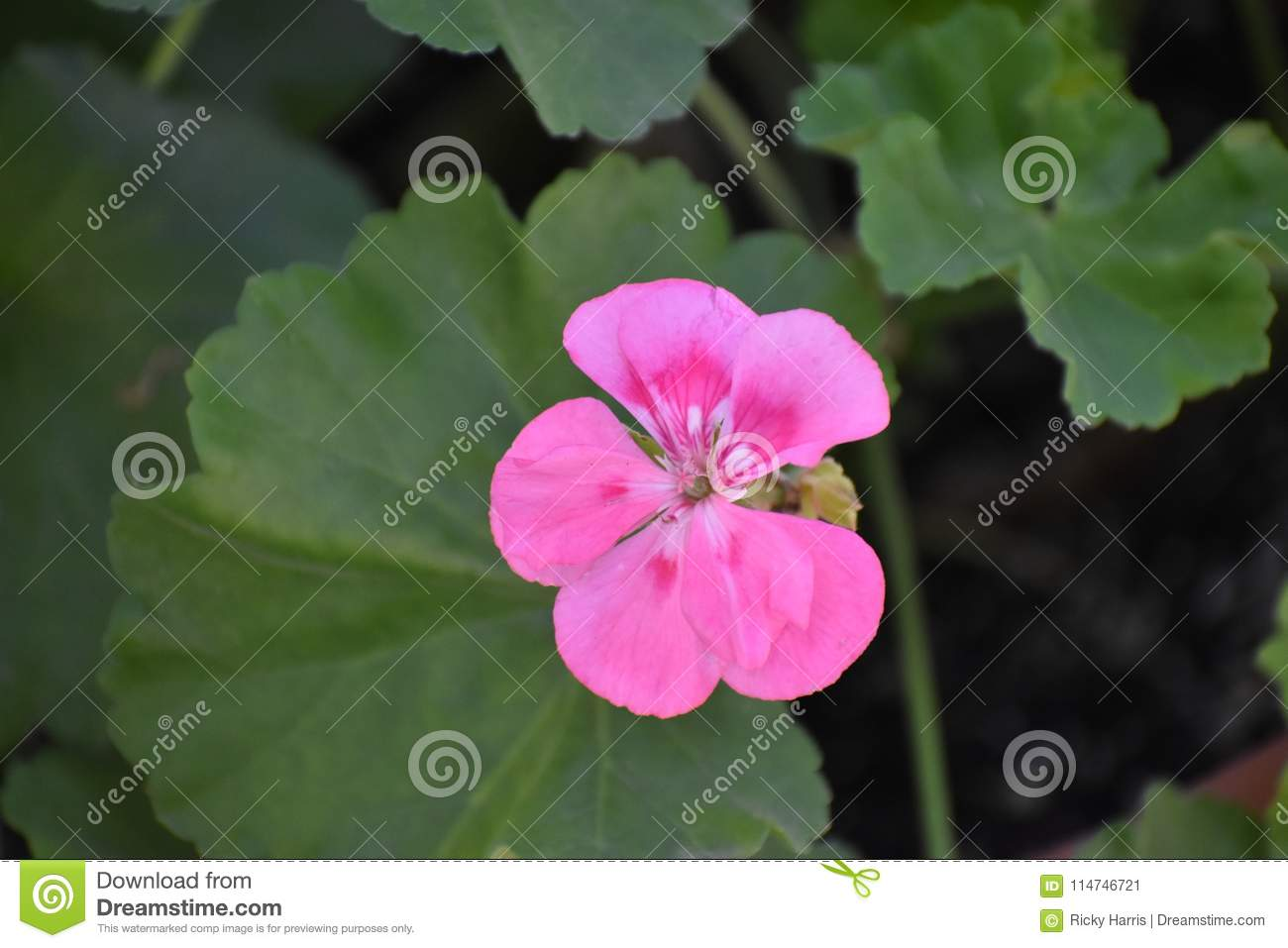 Pink flower found in texas stock image image of leaf 114746721 download pink flower found in texas stock image image of leaf 114746721 mightylinksfo