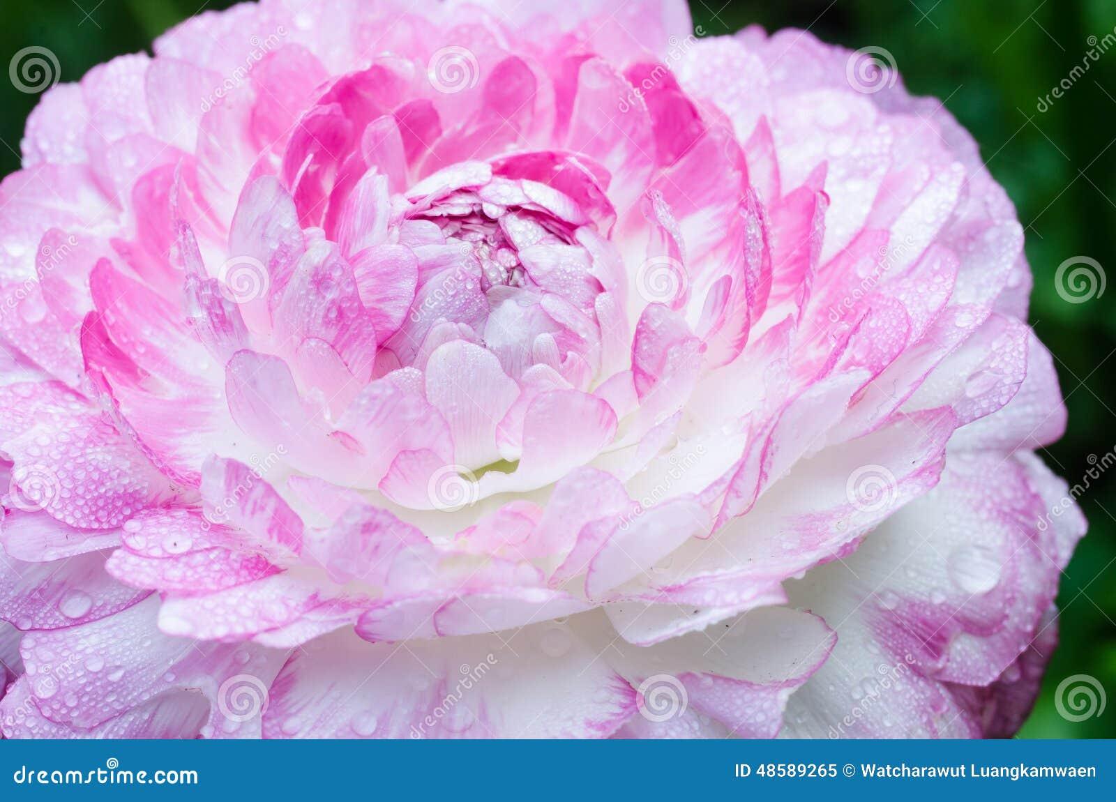 Single Flower Garden : Pink flower in the garden stock photo image