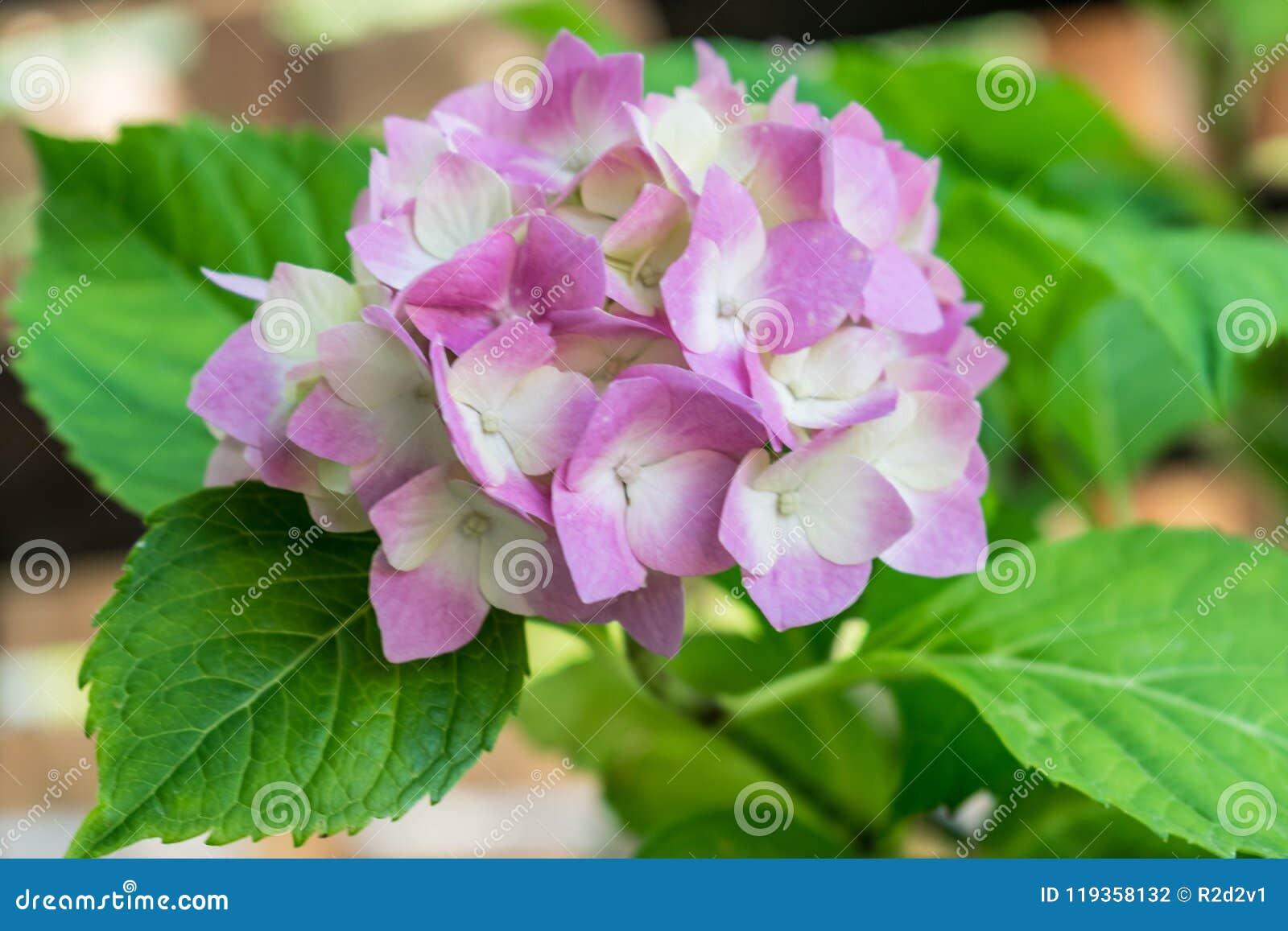 Pink Flower Hydrangea Serrata Stock Photo Image Of Leaves Heaven