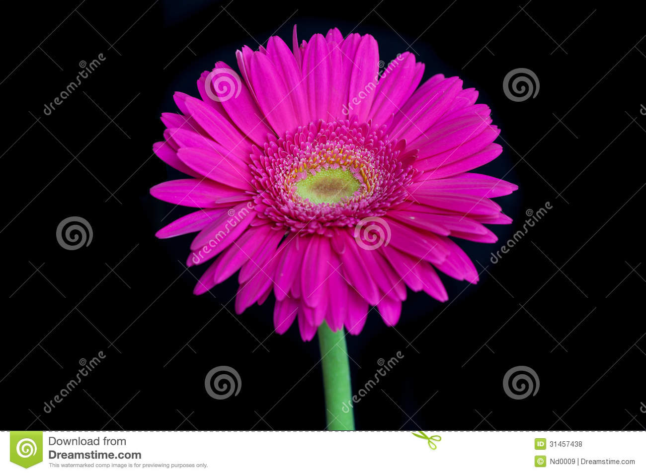 Pink Flower, Isolated On Black Background Royalty Free ...