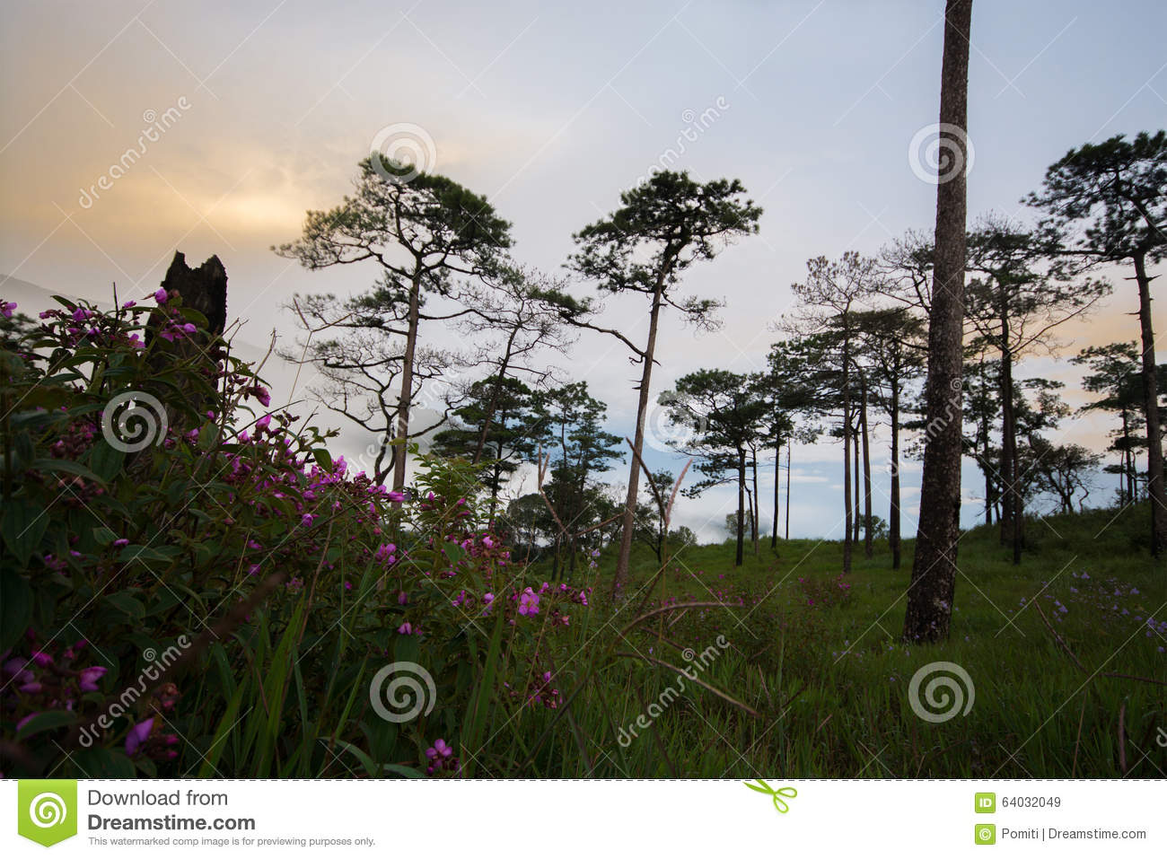 Pink flower in meadow and pine trees stock image image of flower download pink flower in meadow and pine trees stock image image of flower evening mightylinksfo