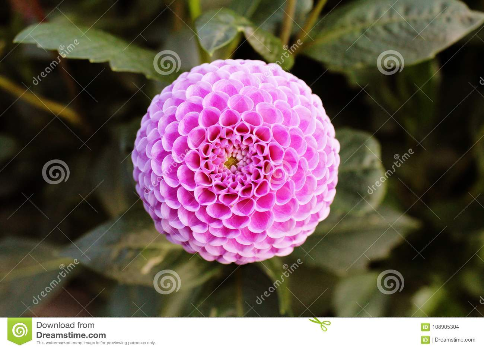 pink flower in polish garden stock photo image of fibonacci