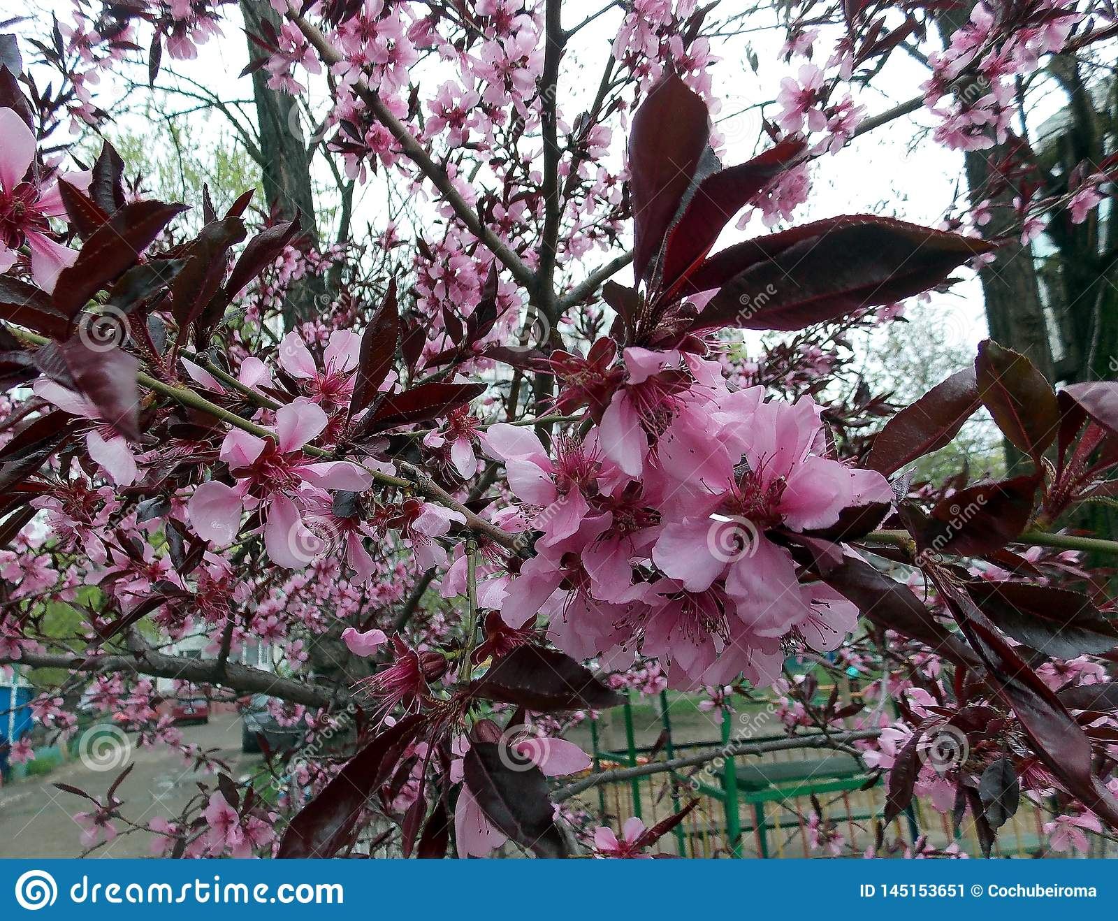 Pink Flower On A Tree With Burgundy Leaves Stock Image Image Of