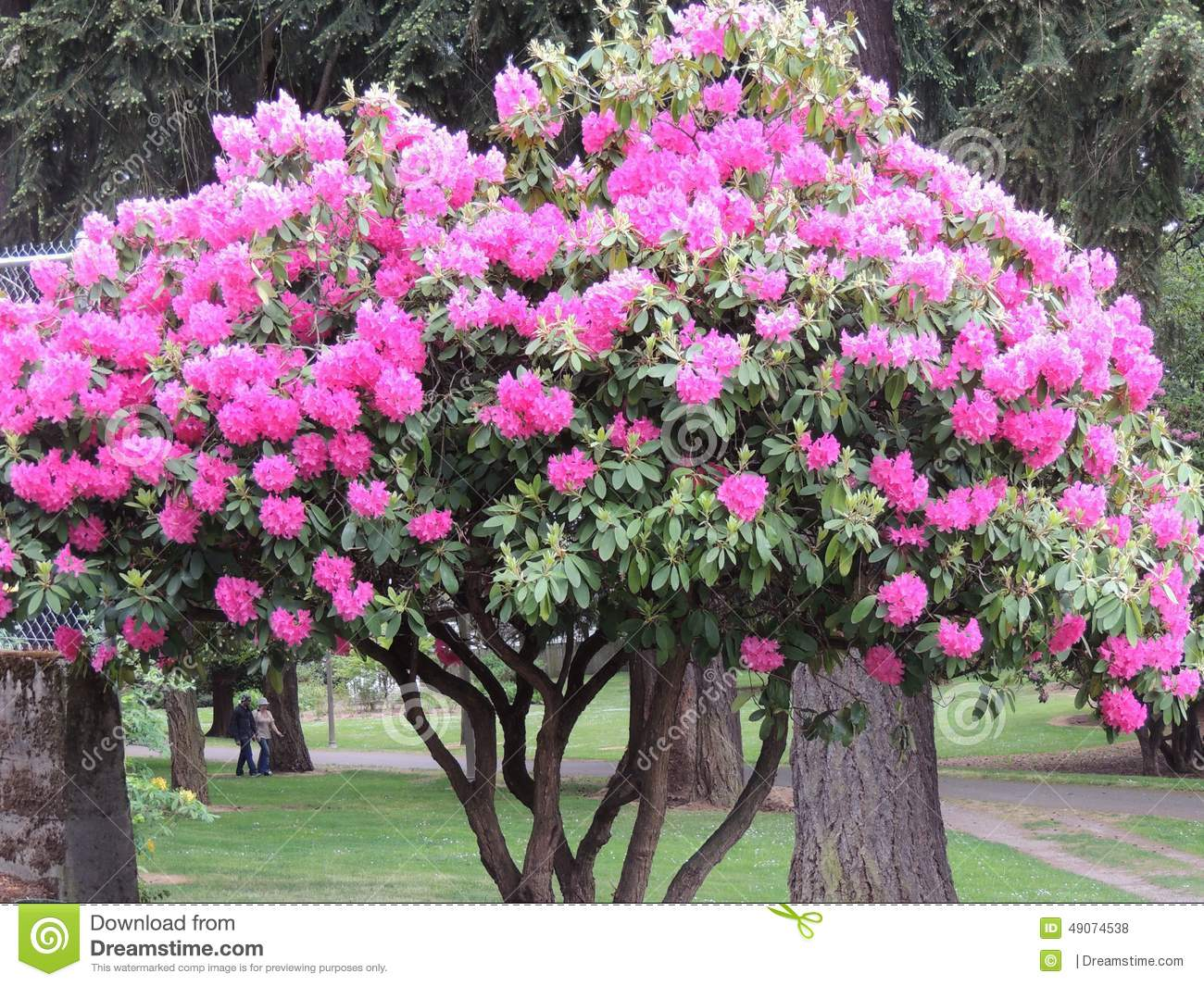 Pink Flower Tree Stock Image