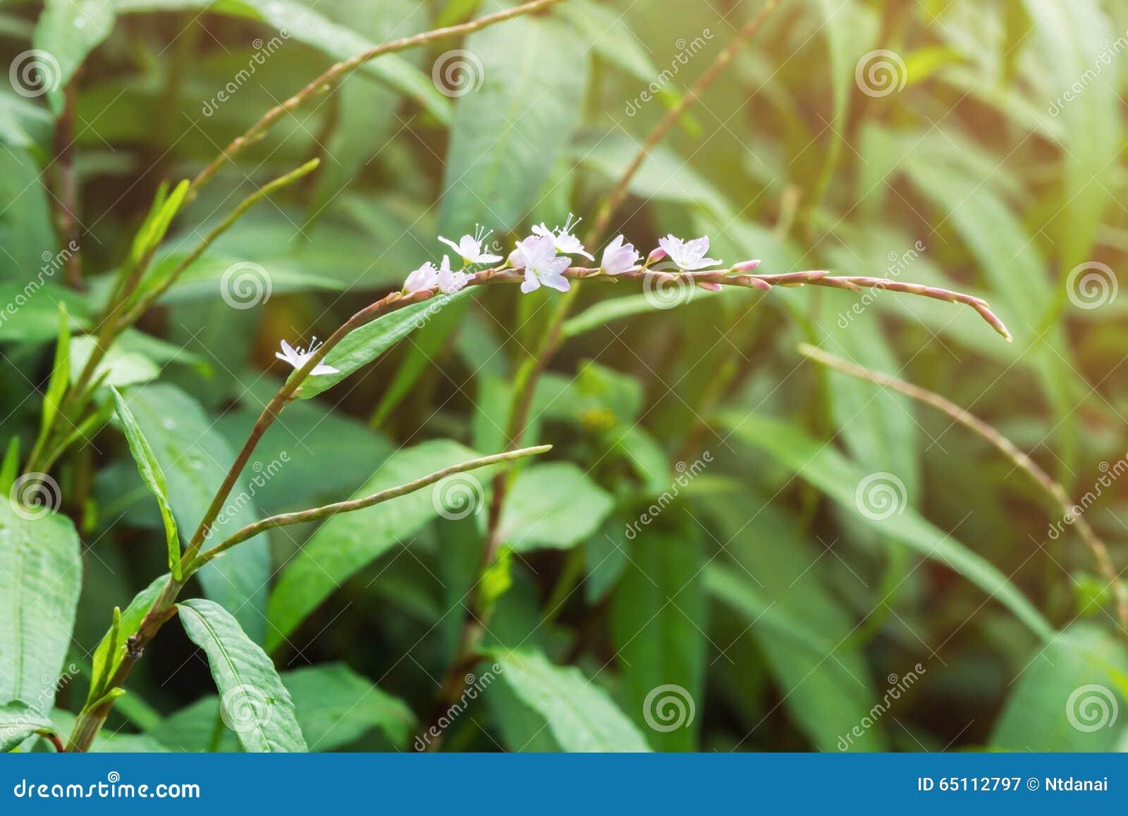 Pink Flower Of Vietnamese Coriander In Garden Stock Image Image Of