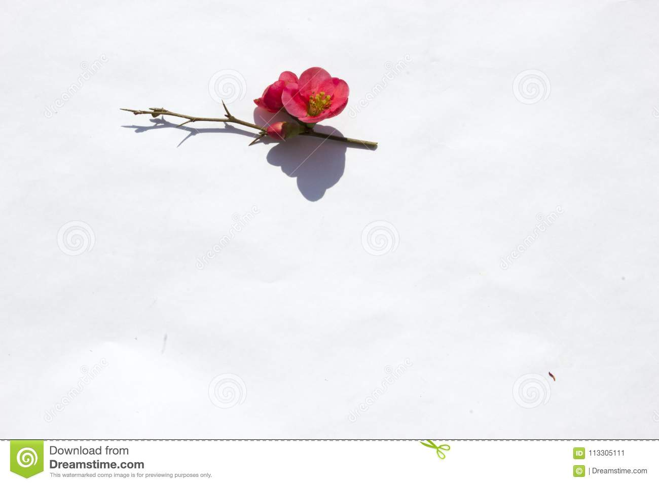 Pink Flower With White Background Stock Image Image Of Mother