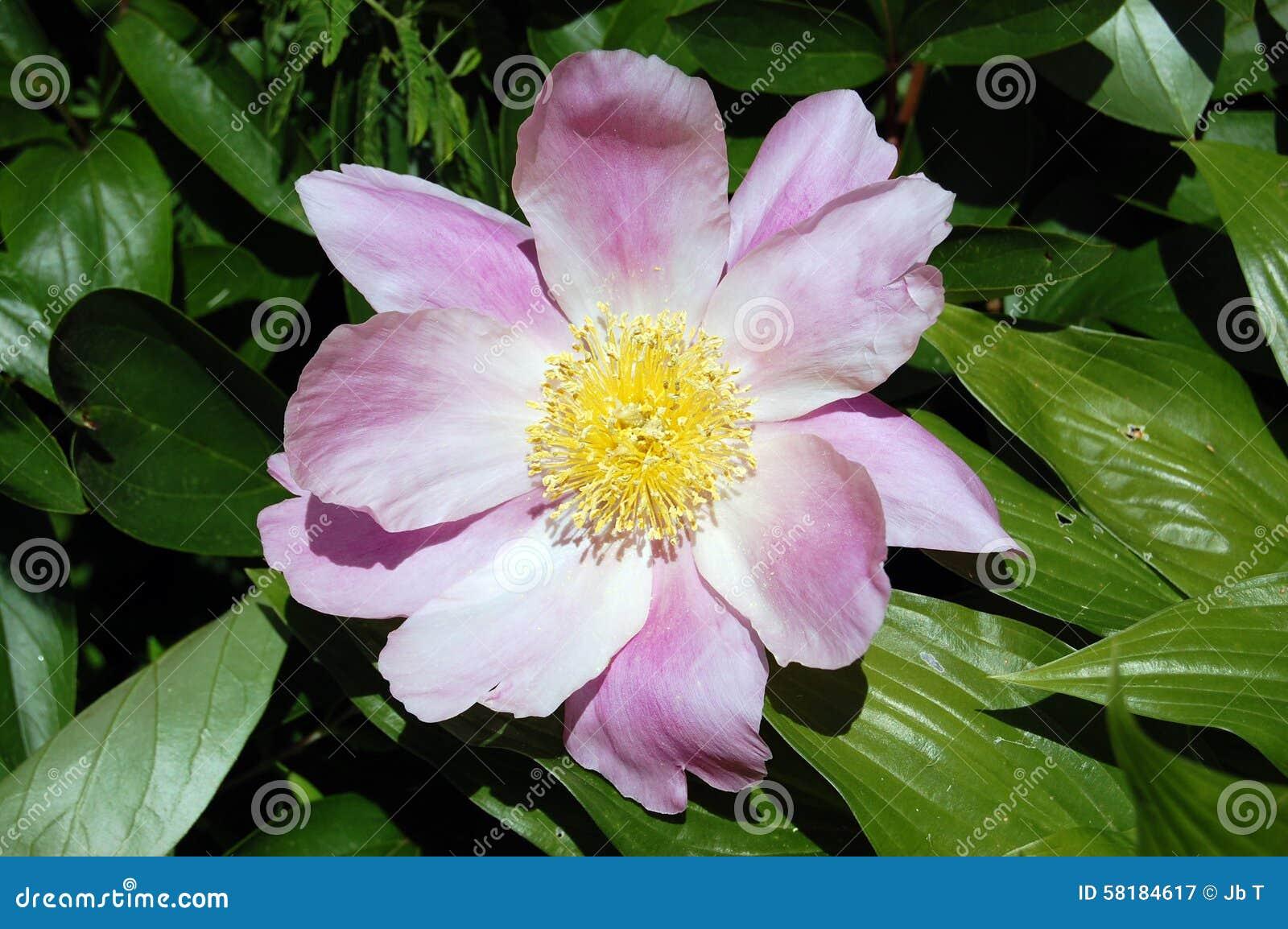 Pink Flower With Yellow Center Closeup Stock Photo 58184617 Megapixl