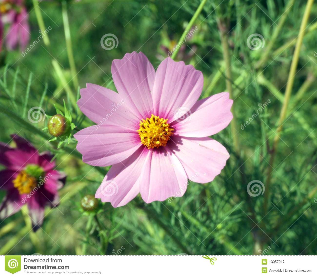 Pink Flower Yellow Center Grass Background Stock Images Download