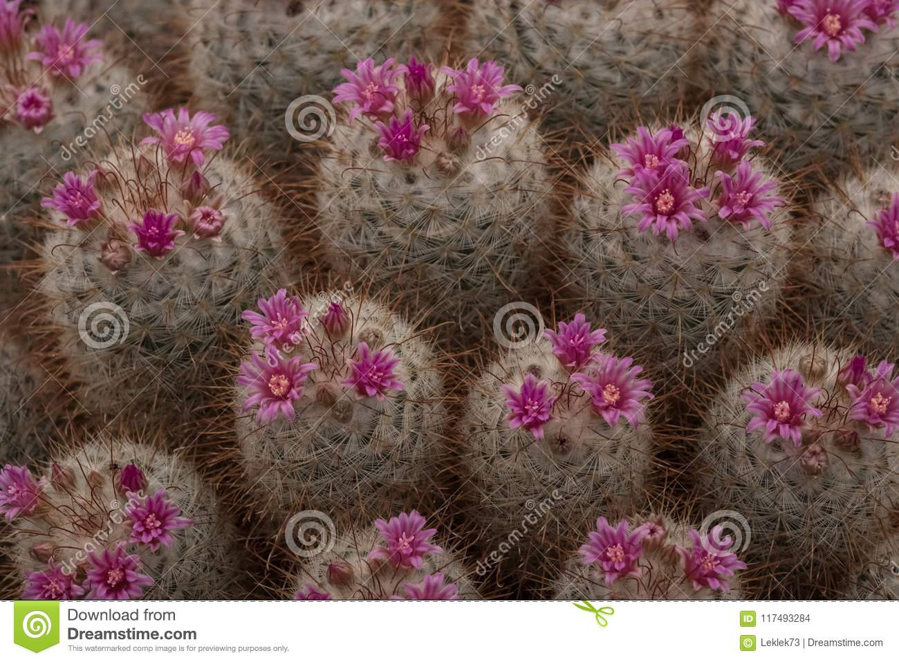 Pink Flowering Cactus Plants Seen At The Royal Horticultural