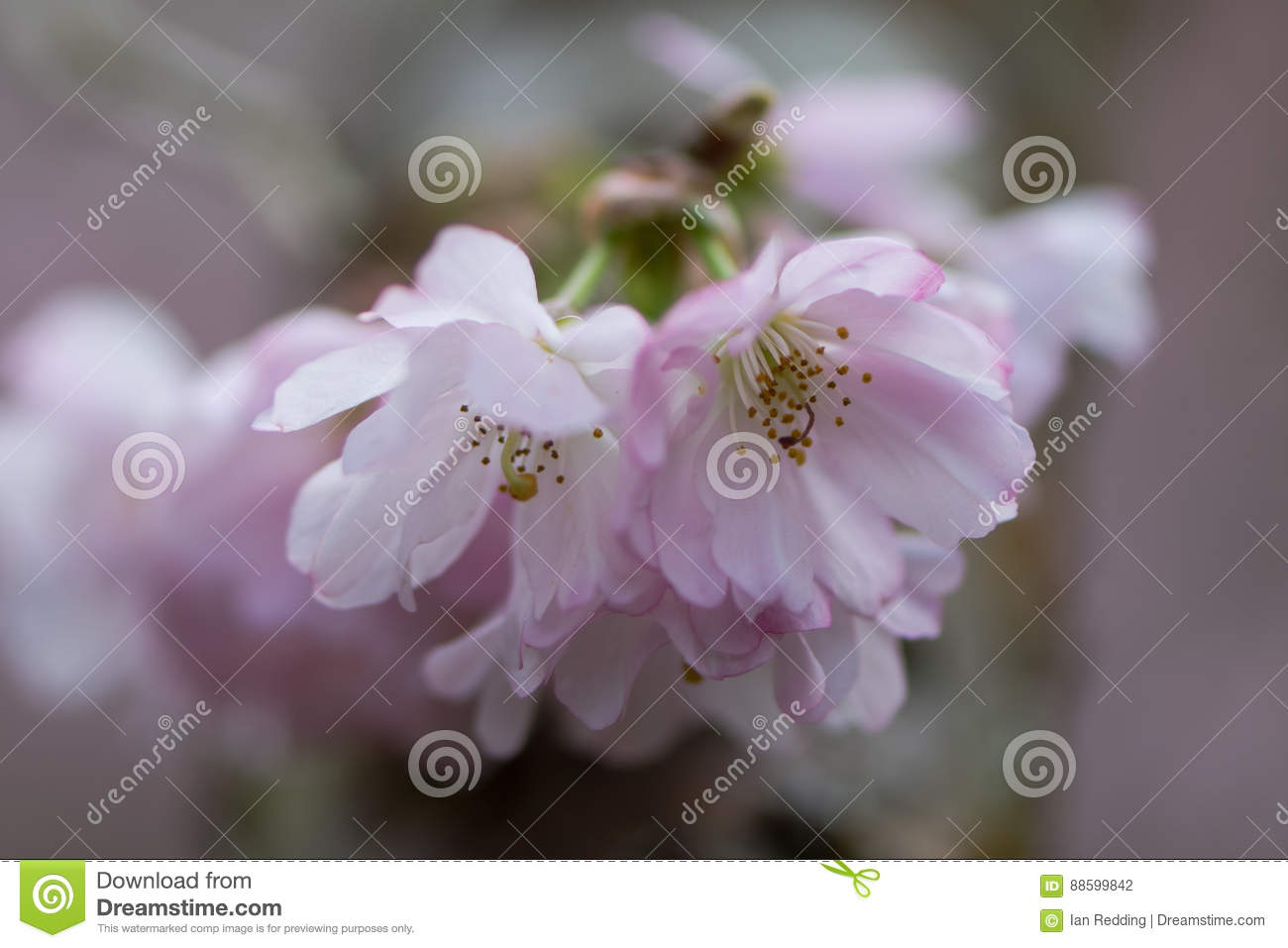 Pink Flowering Cherry Prunus Accolade Stock Photo Image Of