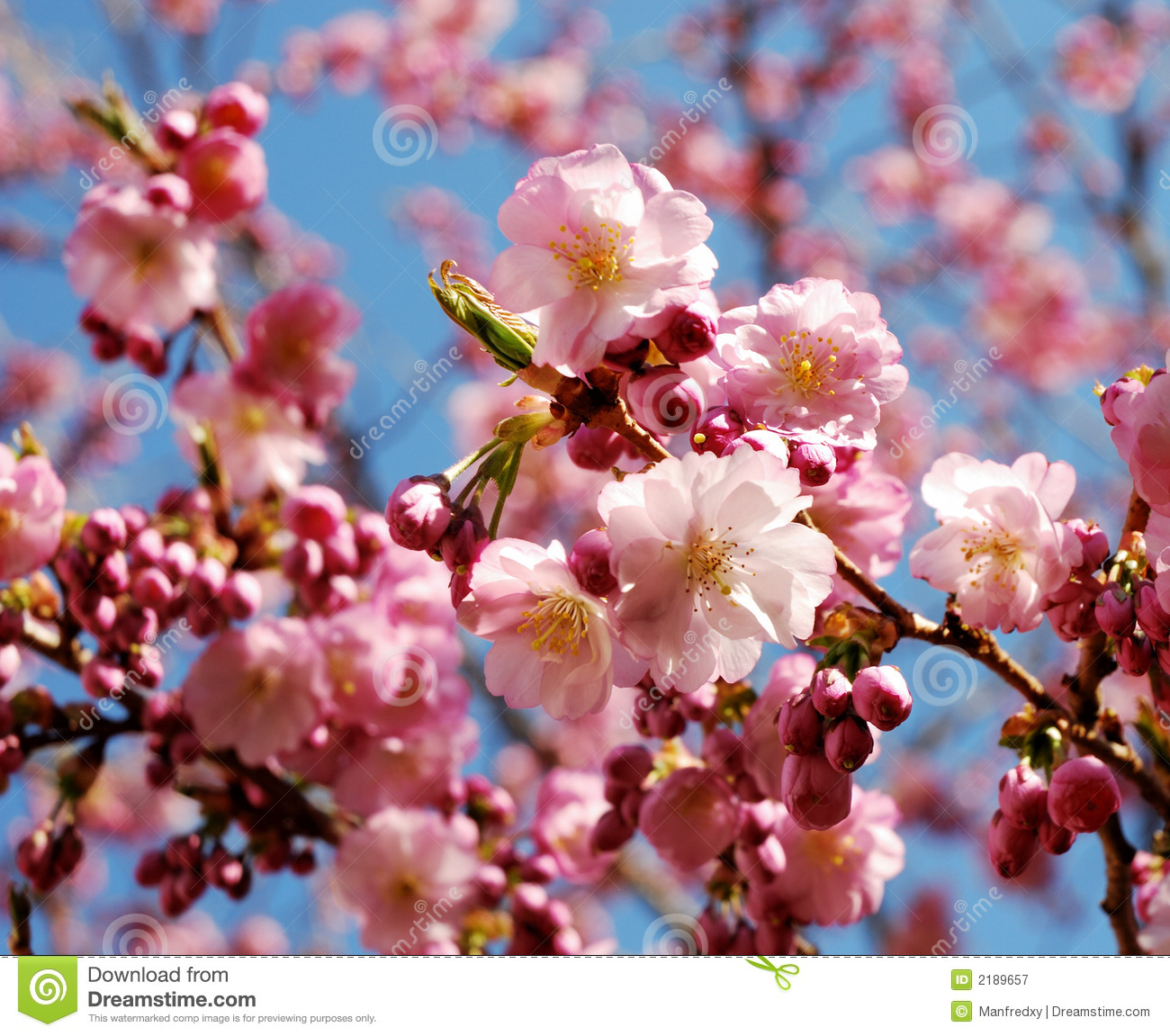 Pink Flowering Cherry Tree Stock Image Image Of Botanical 2189657